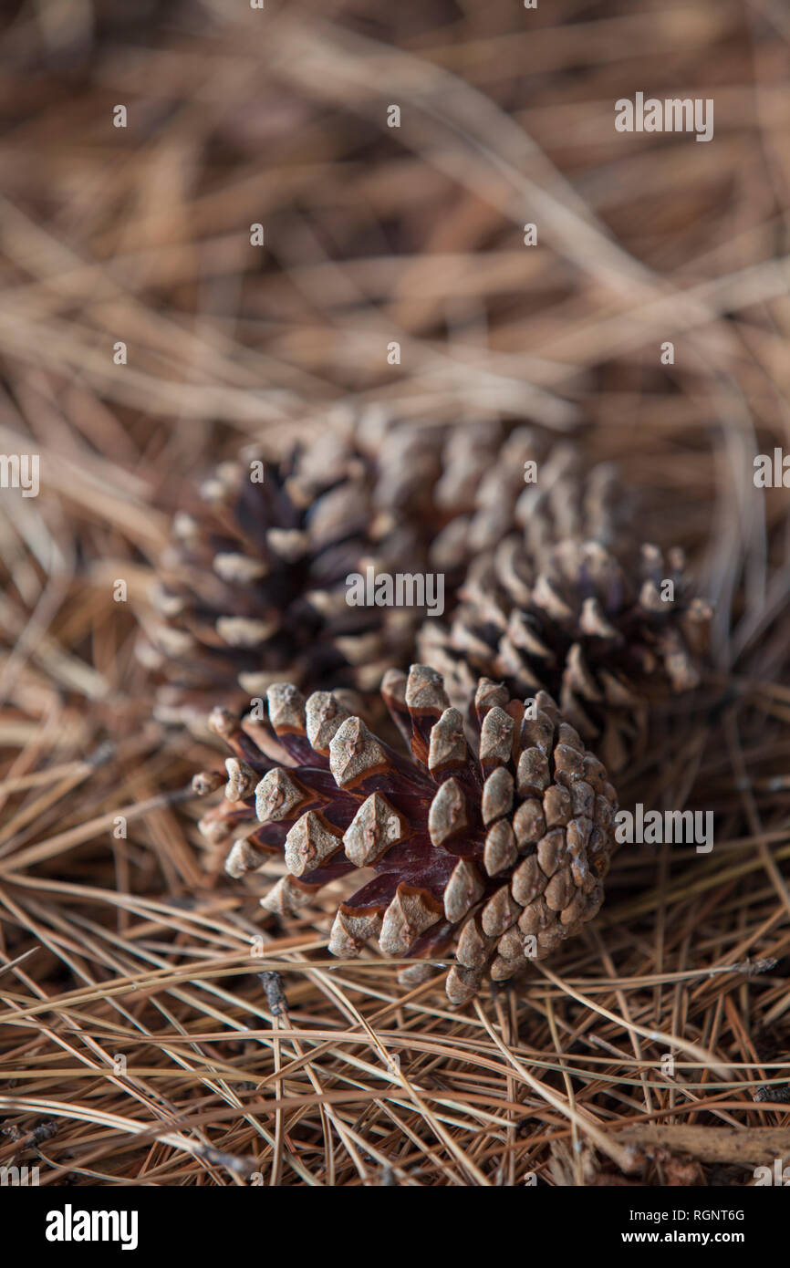 Conifer cone on the ground Windsor Ontario Canada - Stock Image