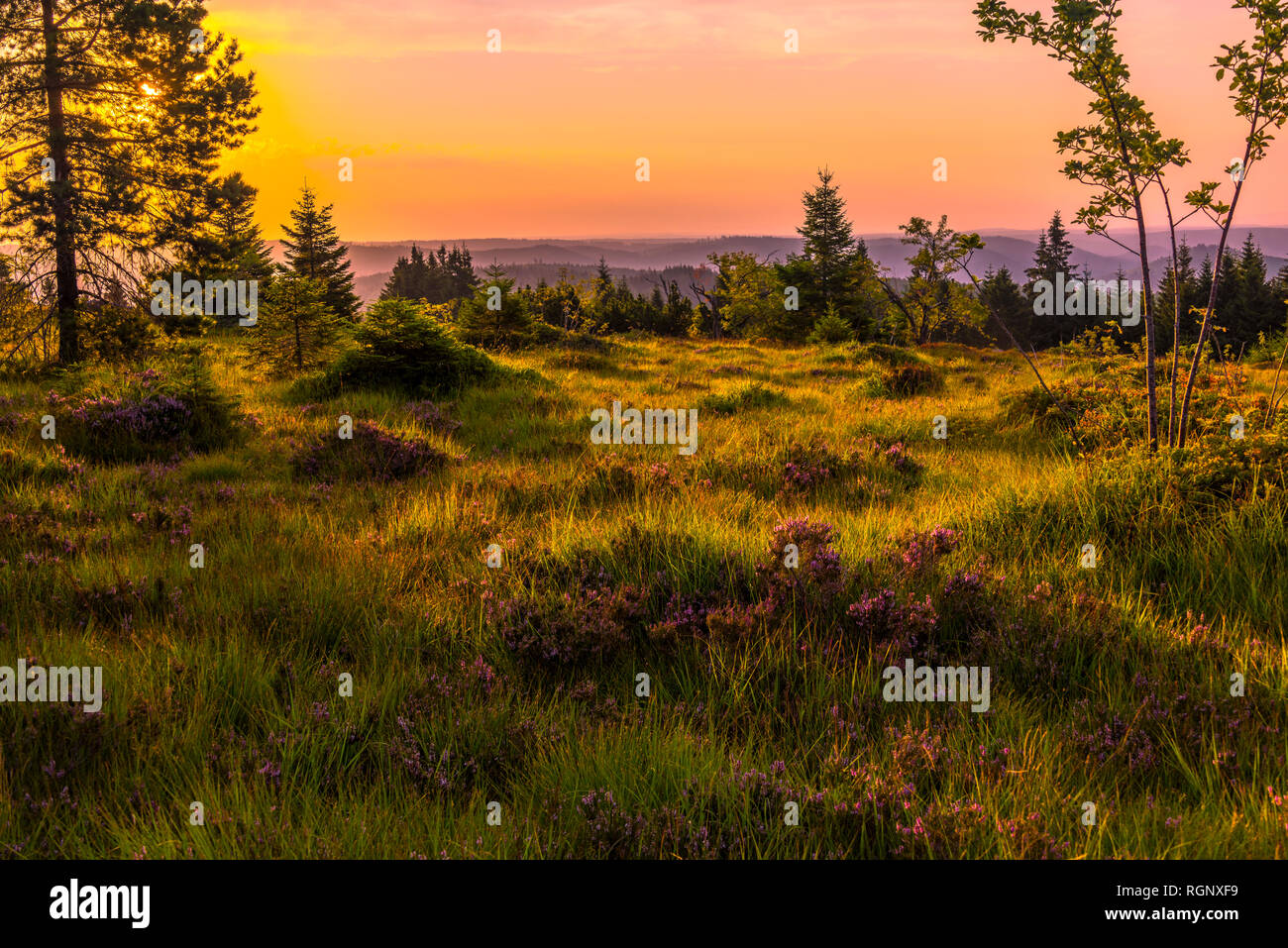 panorama at sunrise over the Black Forest, Germany, nature reserve with plants and grasses of heather, grinde on the mountain ridge of Schliffkopf Stock Photo