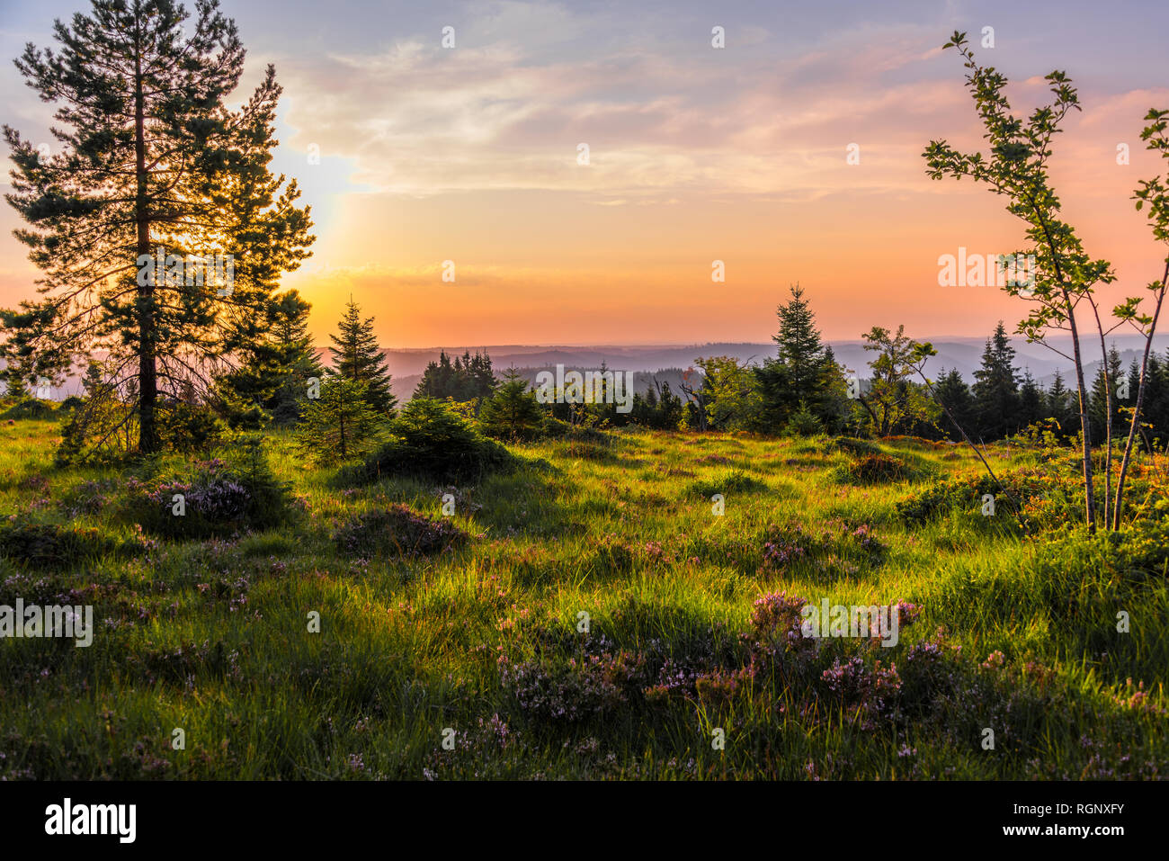 heather landscape at sunrise, Black Forest, Germany, nature and mountain ridges on the top of Schliffkopf in the Northern Black Forest Stock Photo
