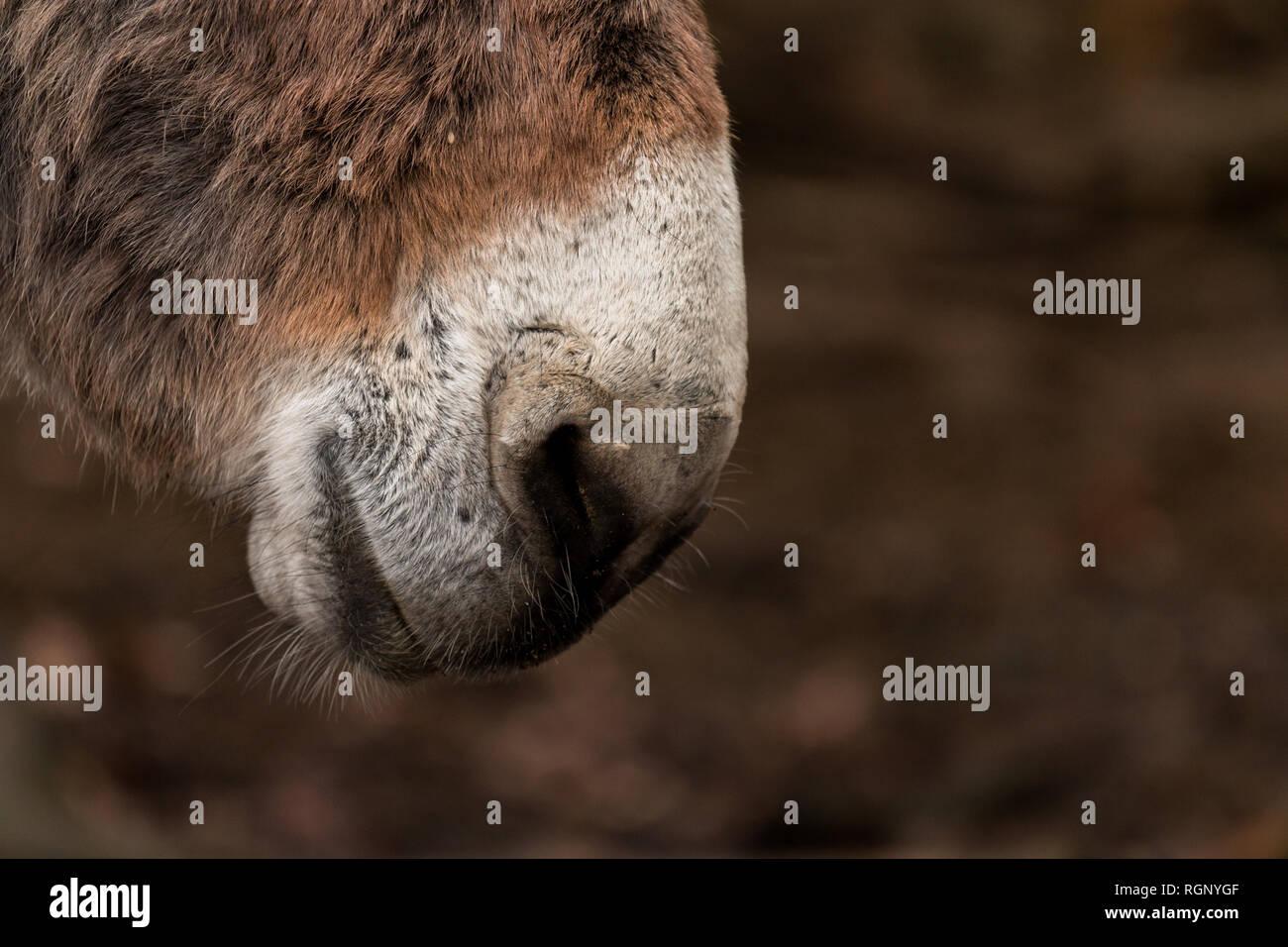 Nase von einem Esel Stock Photo