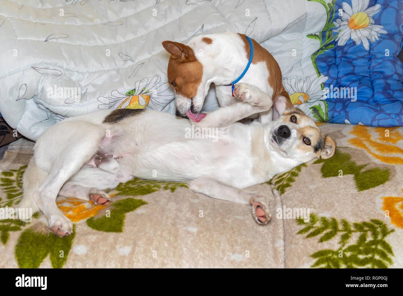 Mature Basenji dog lick clean mixed breed dog lying on a sofa - Stock Image