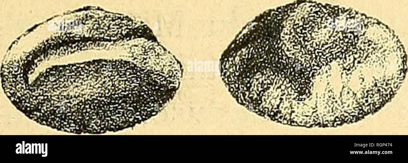 . Bulletin de la Société géologique de France. Geology. OTOLITHES ÃOCÃNES DE FRANCE blT d'aNGLETERRE 247 La cauda est moins recourbée et d'une manière moins marquée que chez 0. [Percidarum) Kokeni et les plissements de la face externe sont plus accusés. Il s'agit probablement d'une forme nouvelle que nous appellerons Otolithus [Percidarum) Coitreaui.. Fi(i. 1-2. â Otolithus {Percidarum) Cottreaui n. sp. Otolithe gauche grossi 6 fois, vu par ses deux faces. Le Bois-GouÃ«t (Loire-Inférieure). â Ãoccne moyen fcoll. J. Coltreau). FiG. 3-i. â Otolithus {Percidarum) Cottreaui, n. sp. Otolith Stock Photo