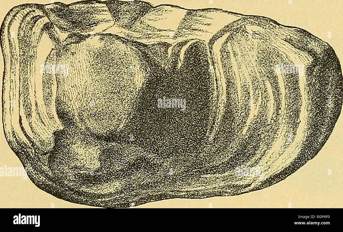 . Bulletin de la Société géologique de France. Geology. conservé (fîg-. 55) porte sur sa face interne légèrement bombée un sulcus à ostium large rempli de formations colliculaires, une cauda profonde, dont la courbure atteint le bord in- férieur, La face externe, concave, a une très forte saillie irrégulière. Les dimensions sont : longueur 17 mm., largeur 10 mm., épaisseur maximum 2 mm., épaisseur maxi- mum 7 mm. 5. 2° Salies-de- Béarn, Helvétien. Six otolithes gauches et un droit appartiennent à la même variété. 3» Salles (Mi- ney), Helvétien. Deux otolithes droits longs Stock Photo