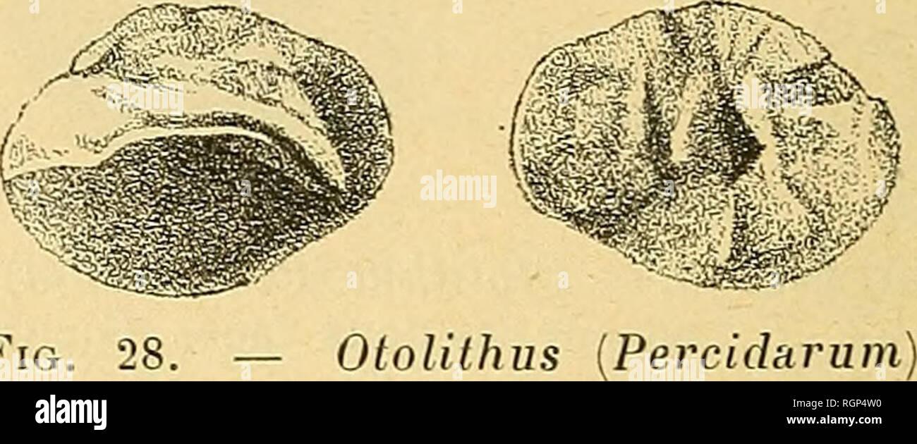. Bulletin de la Société géologique de France. Geology. 258 F. PRIEM Il a pour dimensions : longueur : 6 mm., largeur 4 mm., épais- seur 1 mm. 4° Salies de Béarn, (Basses-Pyrénées). Deux otolithes droits, cauda faiblement recourbée à l'extrémité postérieure, face externe légèrement concave. L'un de ces otolithes figurés a pour dimensions : longueur S mm., largeur 3 mm. 5, épaisseur 1 mm. (fig. 27). Otolithiis [Percidarum) sequalis Koken, var. hurdigalensis Priem . Cette espèce déjà signalée dans l'Aquitanien est abondante dans le Burdigalien et l'Helvétien du Sud-Ouest.. Fi Stock Photo