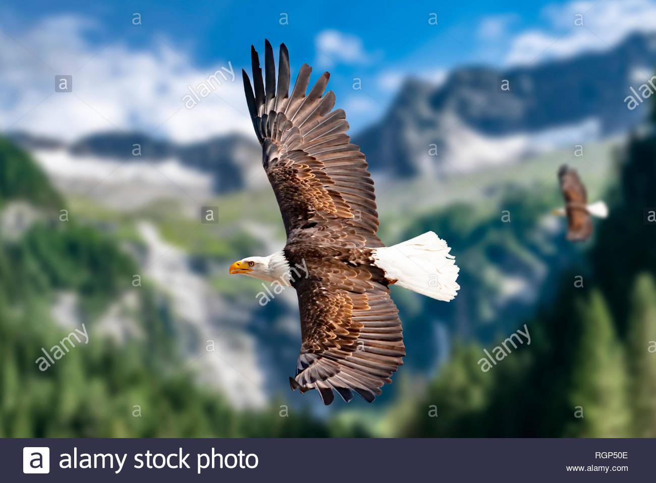 Zwei Weißkopfseeadler fliegen in großer Höhe am Himmel und suchen Beute. Es sind Wolken am Himmel aber es herrscht klare Sicht bei strahlender Sonne. Stock Photo