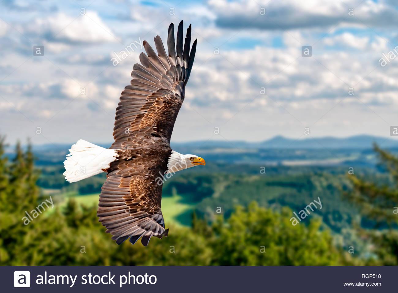 Ein Weißkopfseeadler fliegt in großer Höhe am Himmel und sucht Beute. Es sind Wolken am Himmel aber es herrscht klare Sicht bei strahlender Sonne. Stock Photo