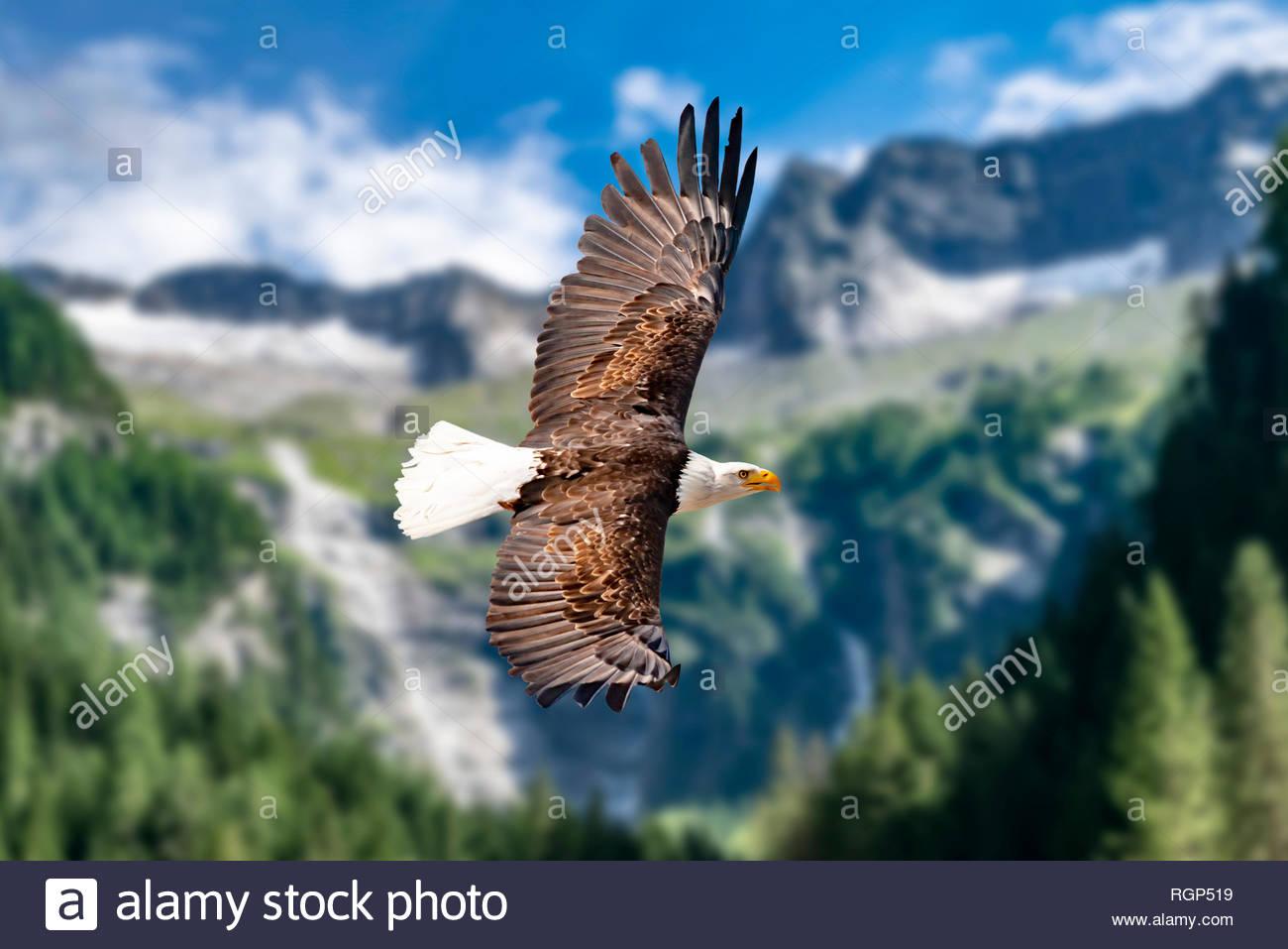 Ein Weißkopfseeadler fliegt in großer Höhe am Himmel und sucht Beute. Es sind Wolken am Himmel aber es herrscht klare Sicht bei strahlender Sonne. - Stock Image