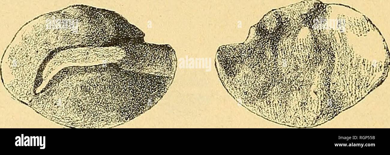 . Bulletin de la Société géologique de France. Geology. 246 F. PRIEM La face interne est légèrement bombée, la face externe légère- ment concave ; les deux faces sont priées d'ornements. Le sul- cus, plus rapproché du bord dorsal que du bord ventral, est con- tinu, droit ; il ne se sépare pas en un ostium et une cauda. Il est ouvert à une extrémité (extrémité ostiale) et fermé à l'autre qui est très près du bord postérieur. On peut comparer cet otolithe à ceux des Macruridés du genre Hyinenocephalus Giglioli. Les Macruridés sont des Poissons voi- sins des Gadidés (Morues Stock Photo