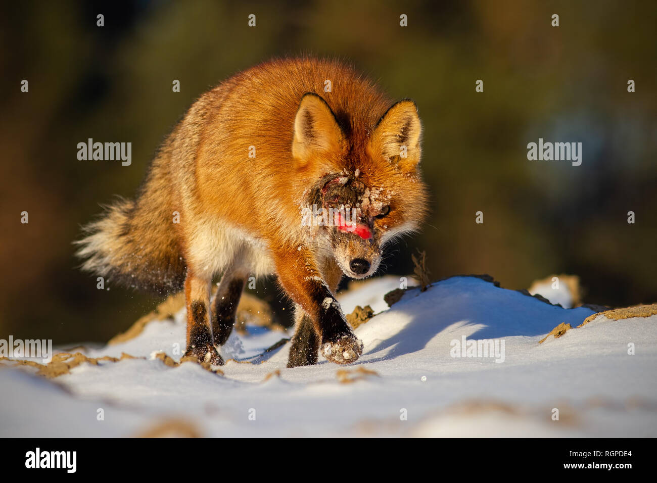 Injured wild red fox with wound on head approaching - Stock Image