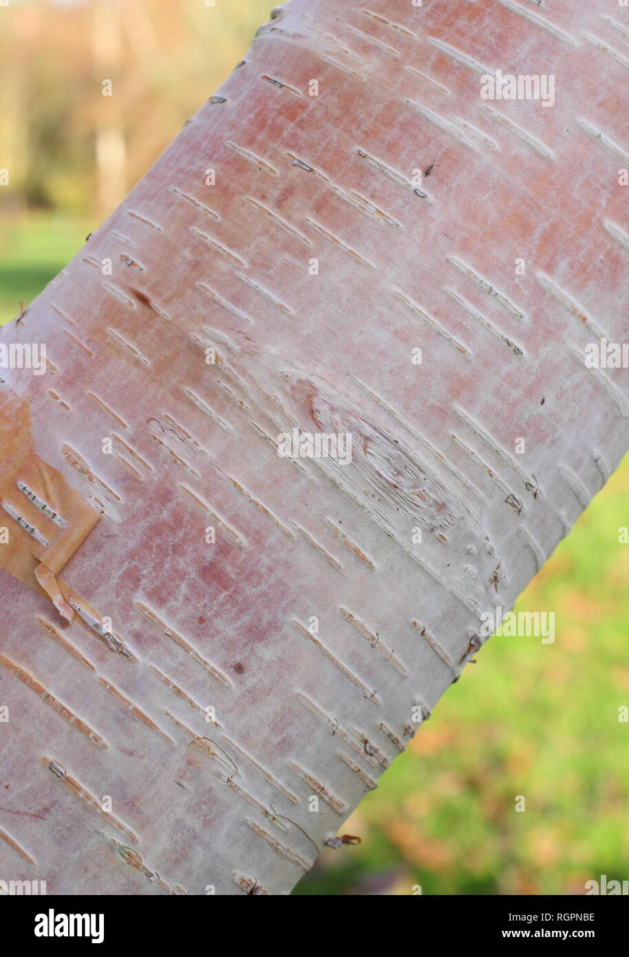 Betula utilis (subsp. albosinensis) 'Fascination' bark. Creamy pink tones of Birch tree 'Fascination' bark in winter, UK - Stock Image