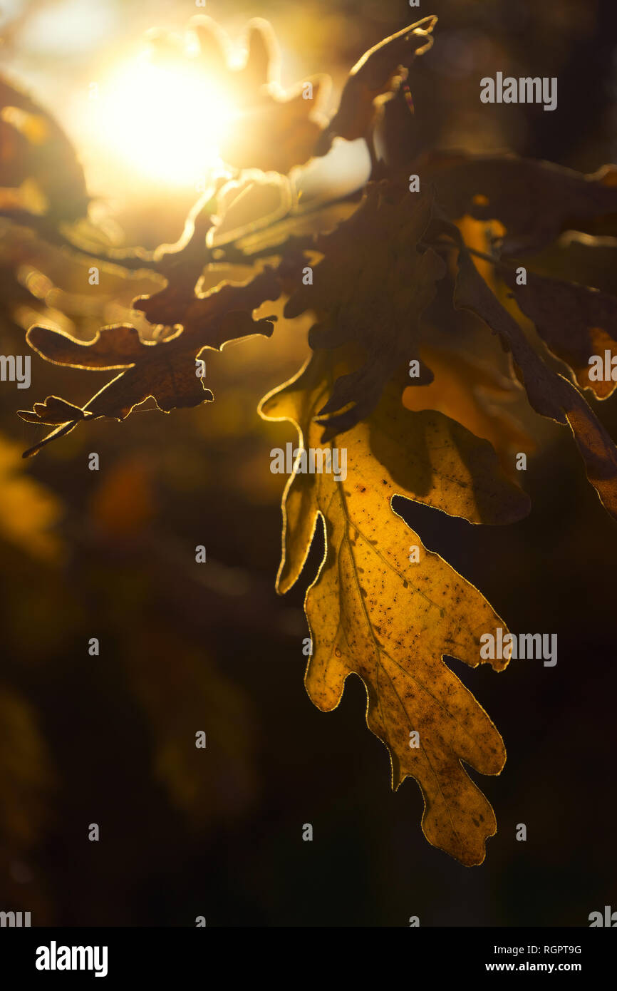 Dry transparent leaves of oak tree on branch illuminated with bright sunlight - Stock Image