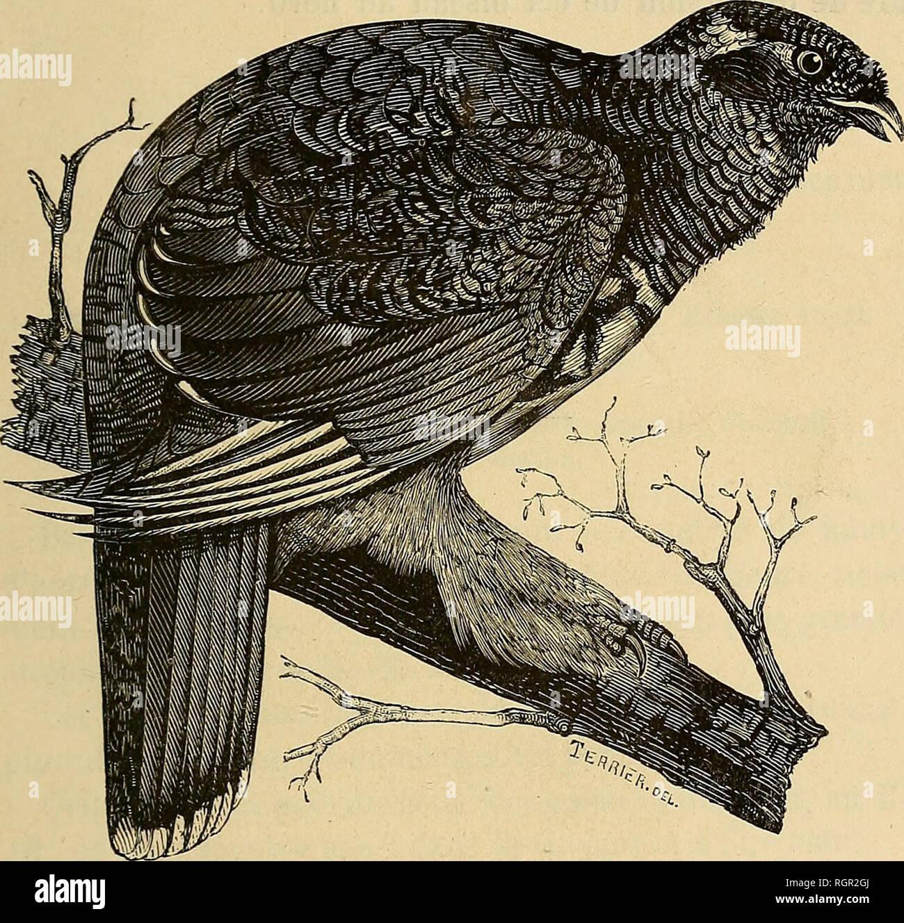 . Bulletin de la Société nationale d'acclimatation de France. Zoology. OISEAUX A ACCLIMATER. 739 Tétras falcipenne (Tétras falcipennis Harllaub). Tetrao falcipennis, Hartlaub, Journ. Omith. (1855), p. 39. — Canace falci- pennis, Bonaparte, Conipt. rend. Acad. se. (1855), t. XLII, p. 883. — Falcipennis Hartlaiibi, EUiot, Mon. of Tetraoninae, pi. Lorsque nous nous sommes occupé des Tétraonides de la Chine, nous avons dit qu'il est possible que l'on rencontre. Tétras ^alcl^penne {Tétras falcipennis Hartlaub). sur les frontières septentrionales de cette vaste région l'oiseau dont il est ici questi - Stock Image
