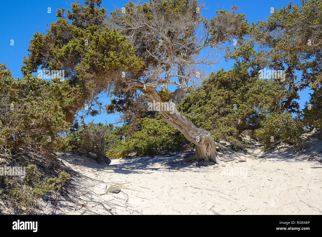 curved branched juniper tree, semi-dry, grows out of sand, near the green bushes Stock Photo