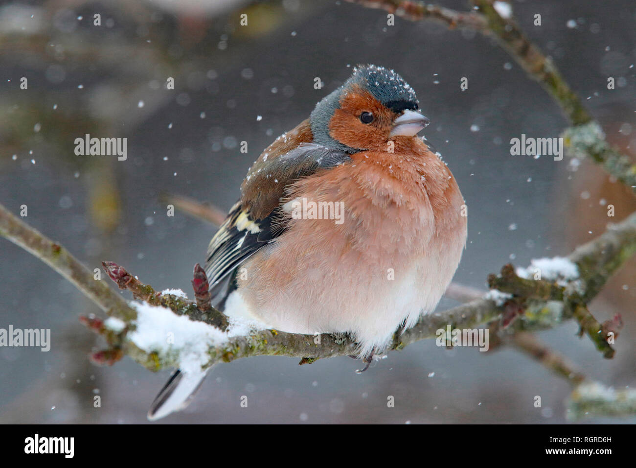 common chaffinch, male, (Fringilla coelebs) - Stock Image