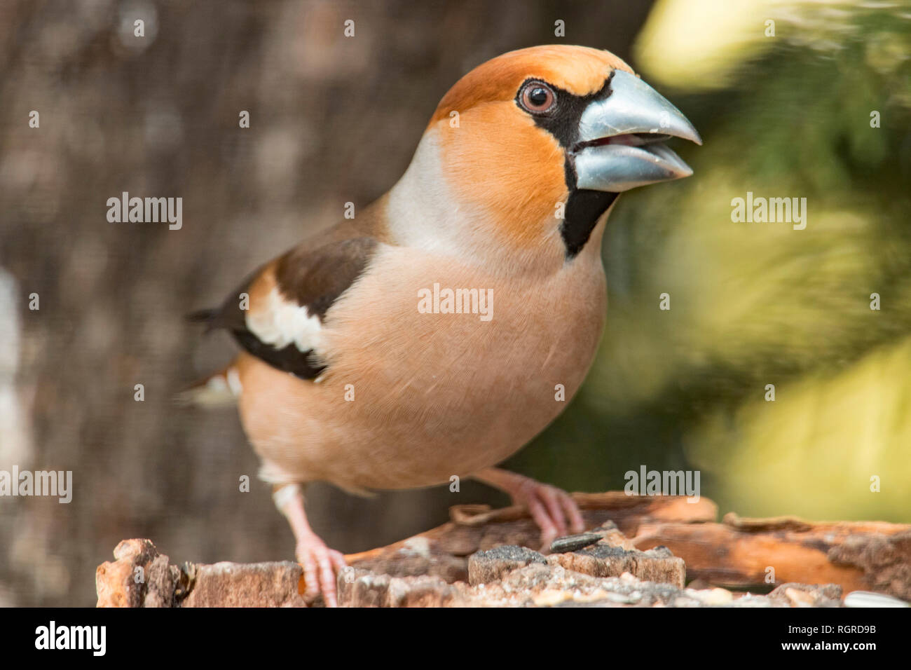 hawfinch, (Coccothraustes coccothraustes) - Stock Image