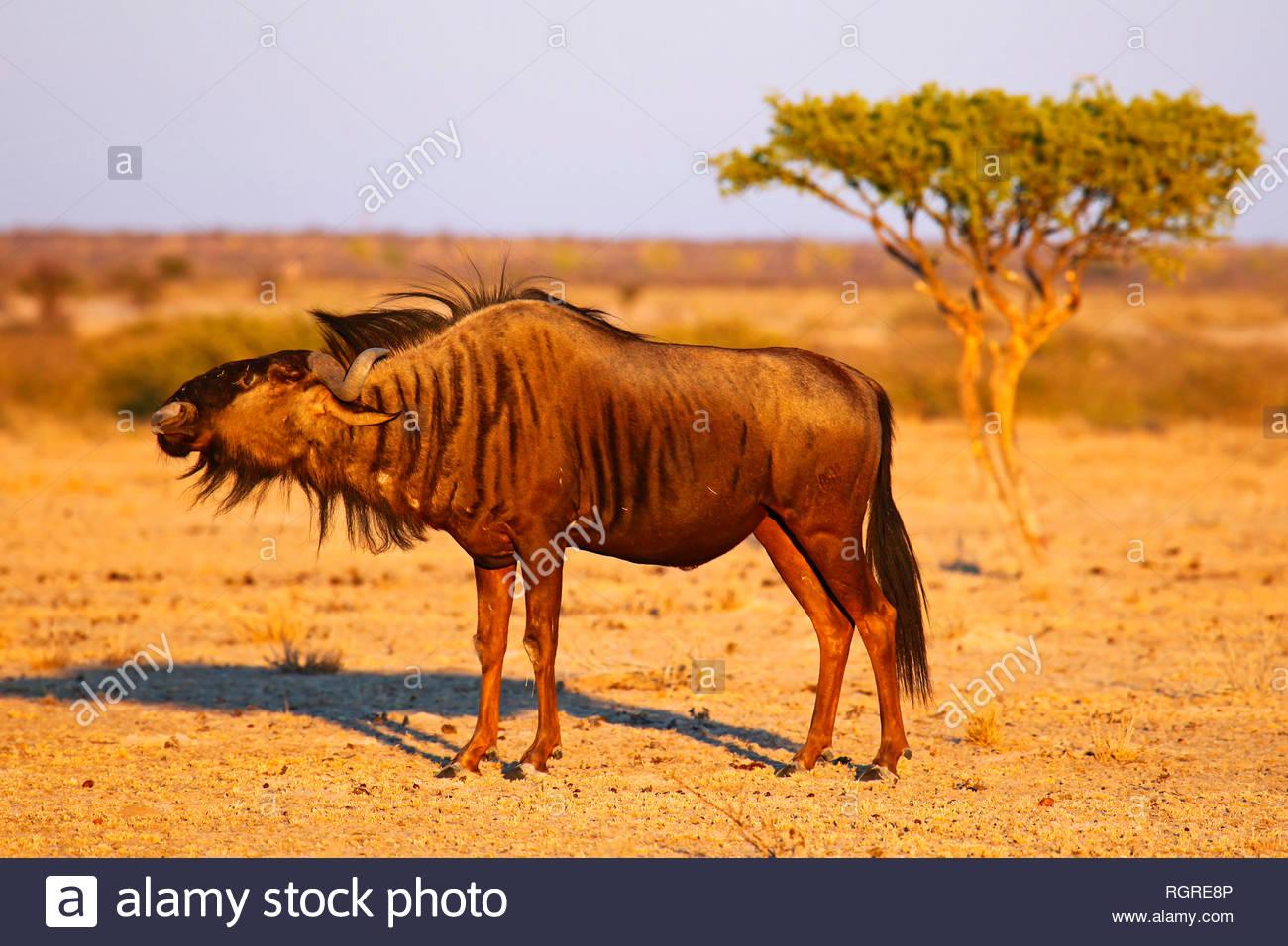 blue wildebeest, Central Kalahari, Botswana, (Connochaetes taurinus) - Stock Image