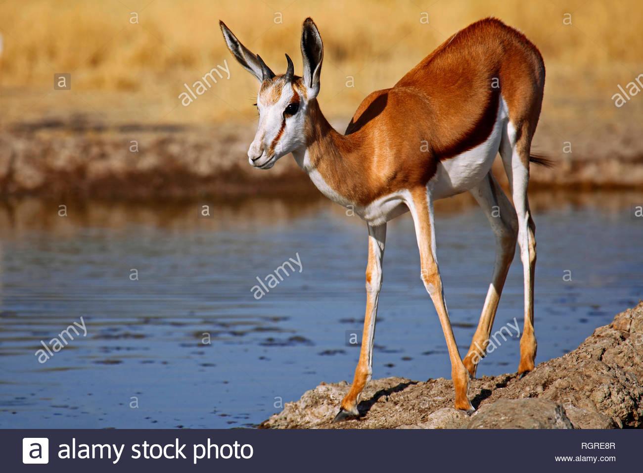 Springbok, Central Kalahari Game Reserve, Botswana, (Antidorcas marsupialis) - Stock Image
