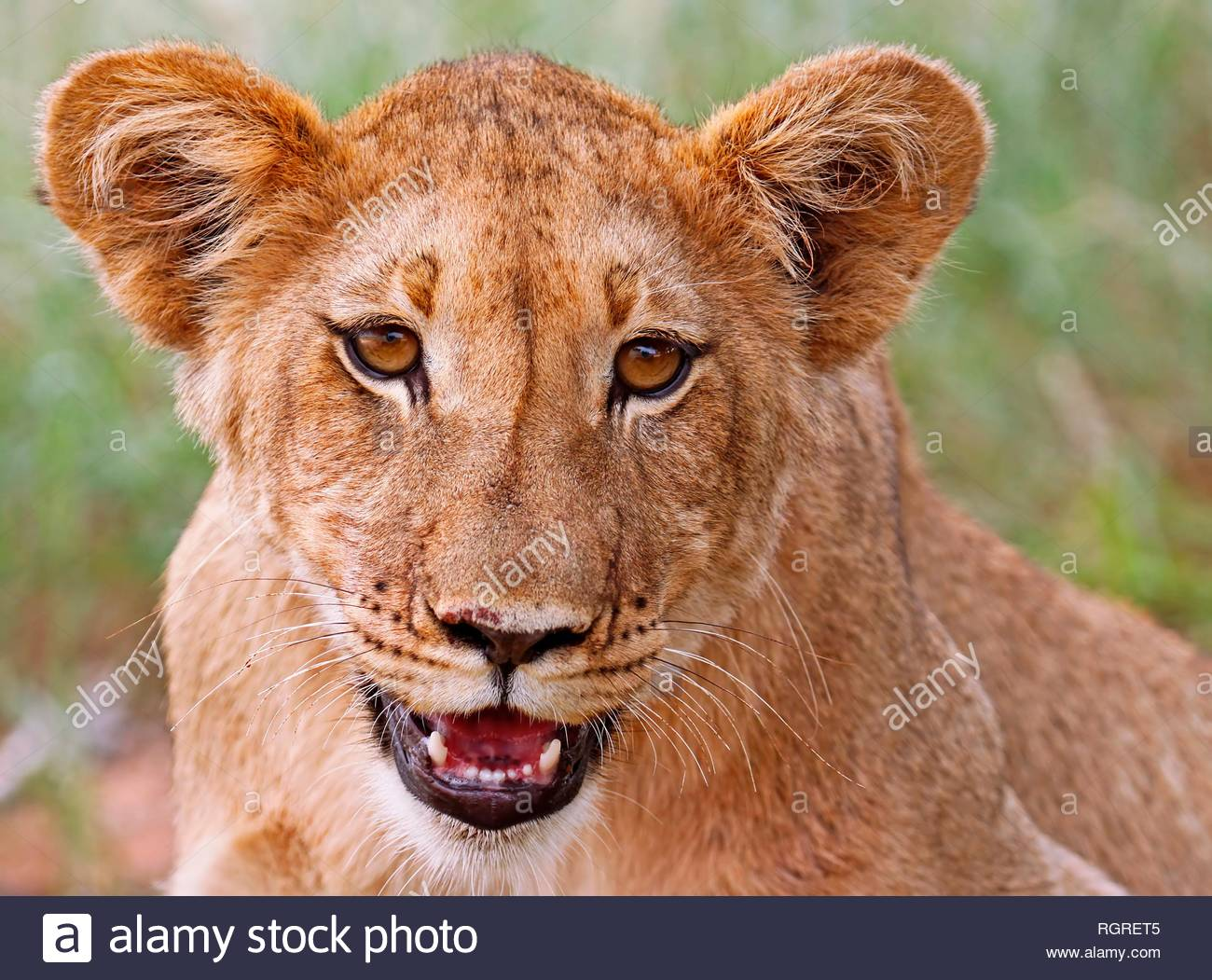young lion, Kgalagadi Transfrontier National Park, South Africa, (Panthera leo) - Stock Image
