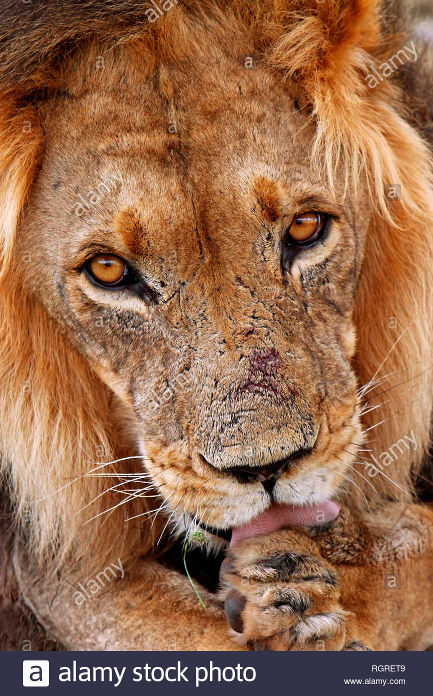 lion, male, Kgalagadi Transfrontier National Park, South Africa, (Panthera leo) - Stock Image