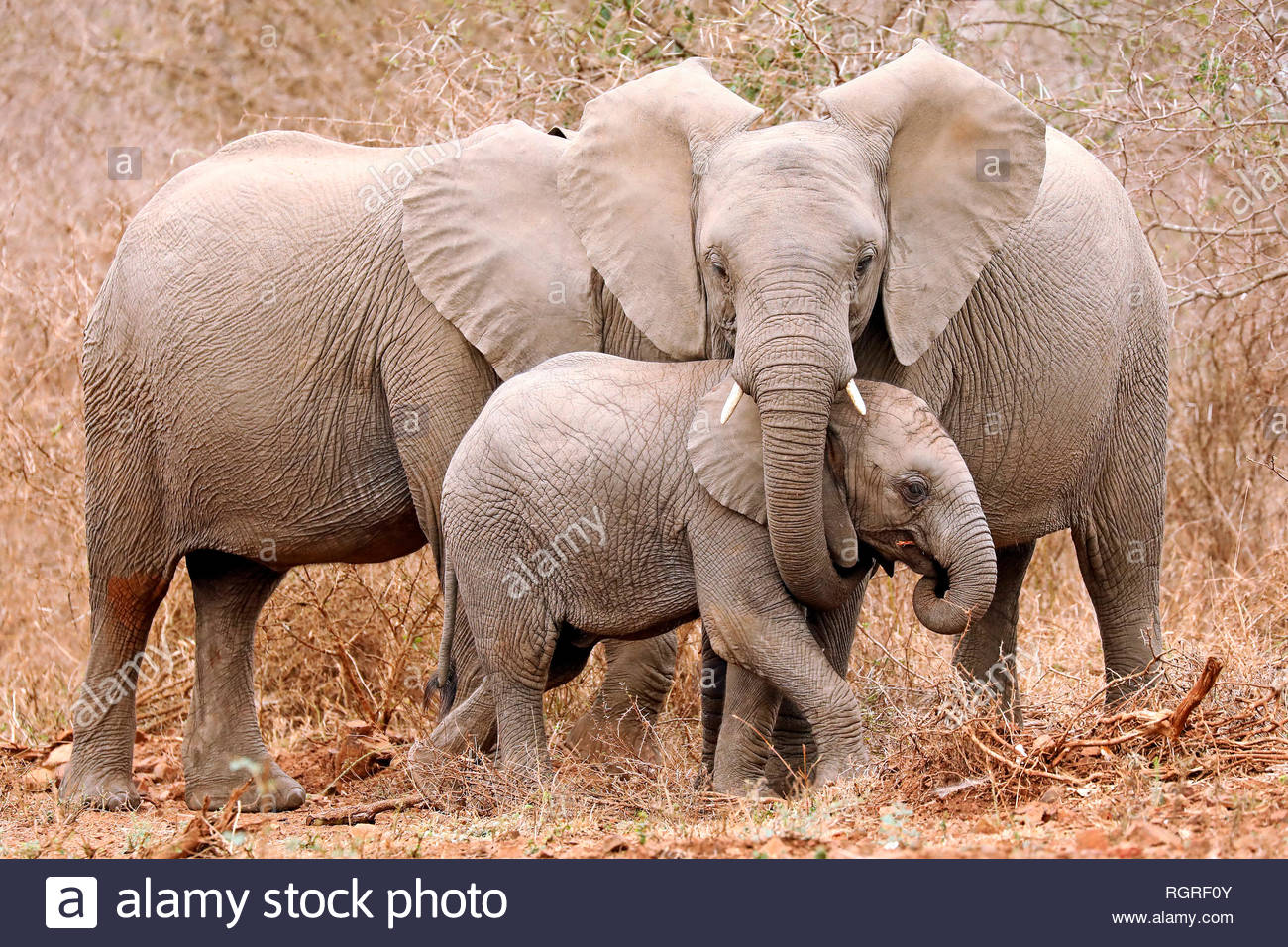 african elephants, Kruger NP, south africa, (Loxodonta africana) - Stock Image