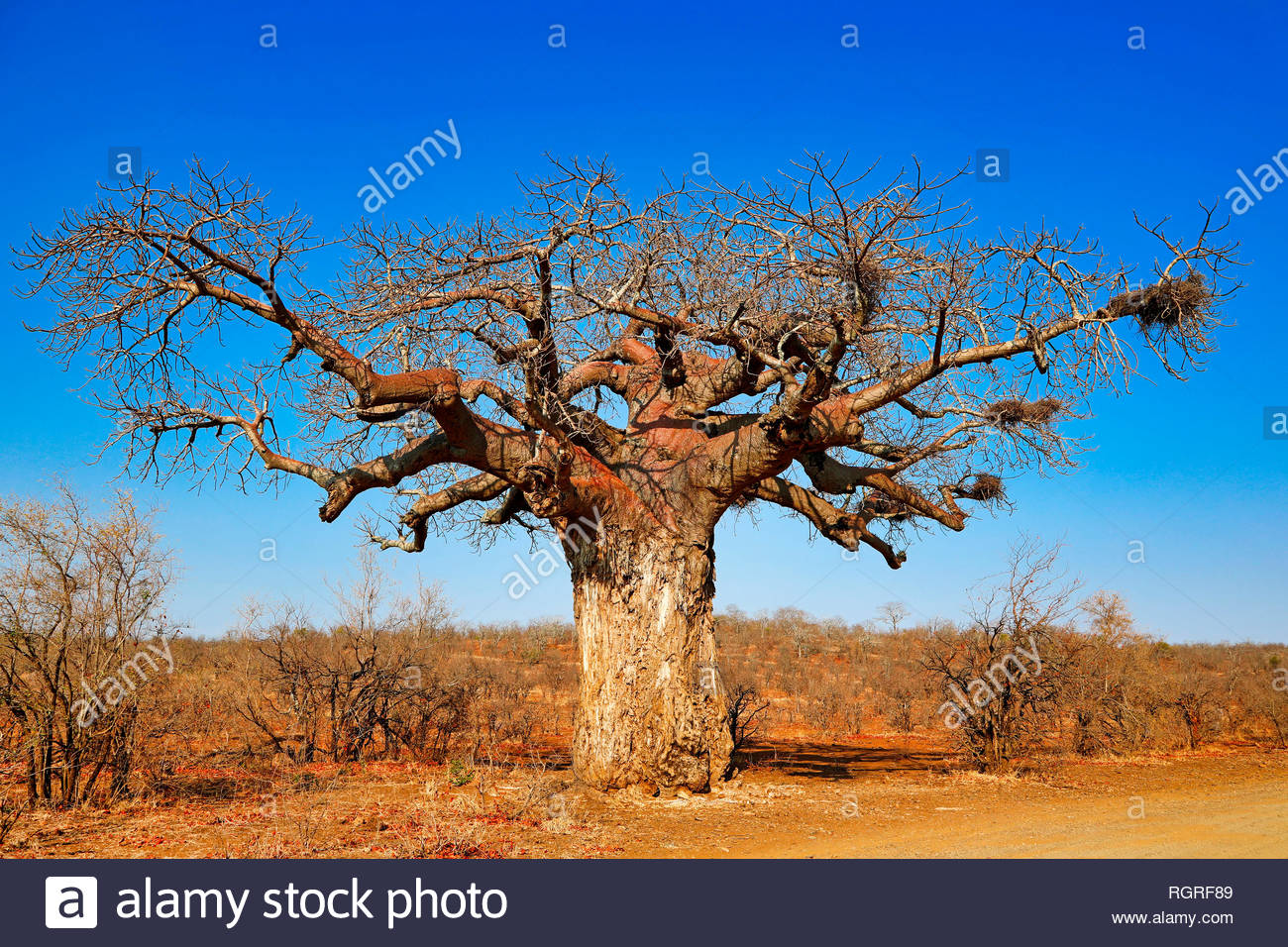 monkey-bread tree, Kruger National Park, South Africa, (Adansonia digitata) - Stock Image