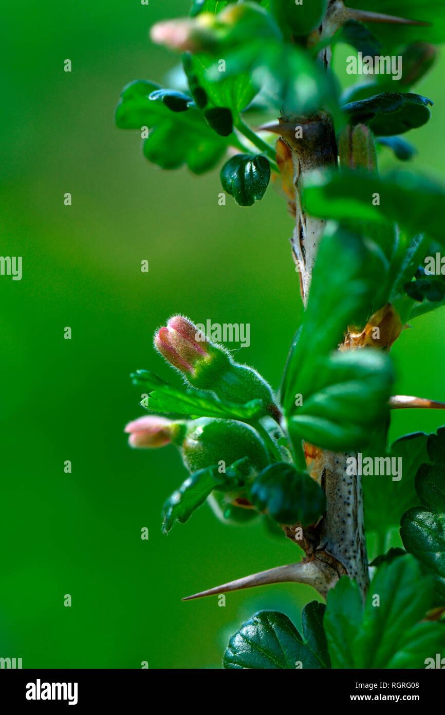 Stachelbeere, fruchtend, Sorte Riese von Koethen, Ribes uva-crispa, Riese von Köthen - Stock Image