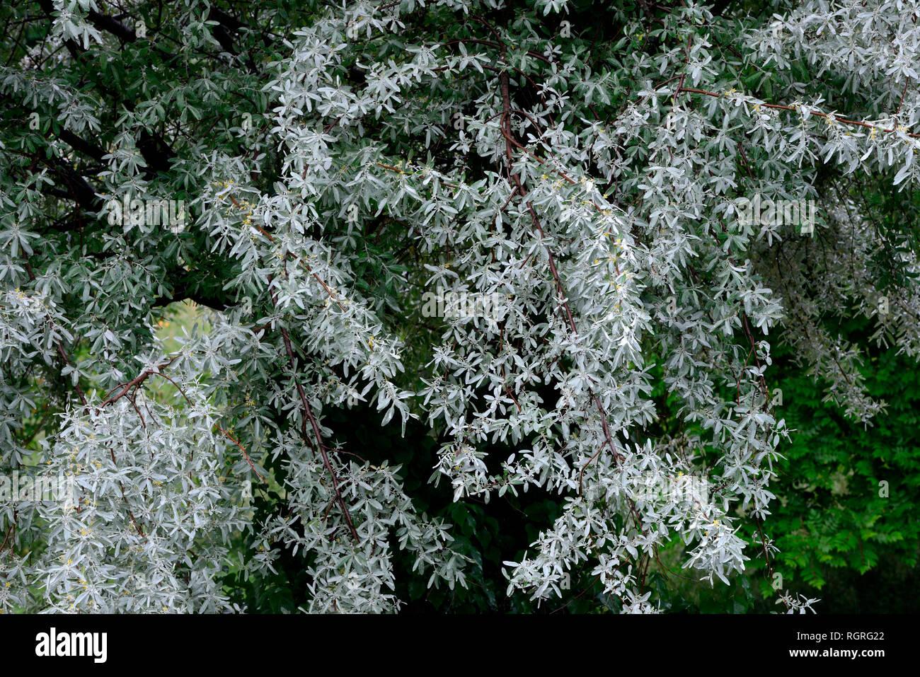 Silberweide, Salix alba - Stock Image