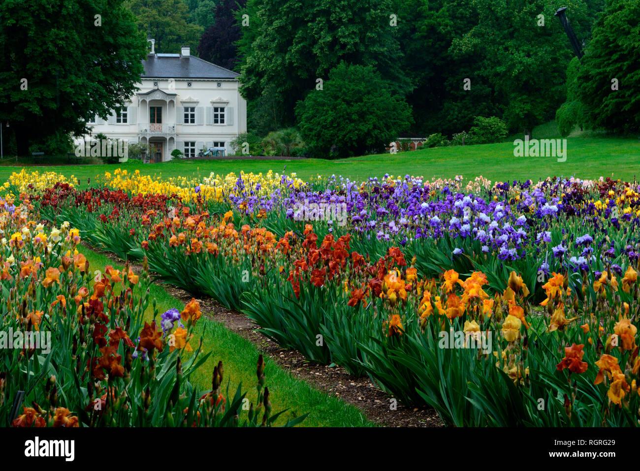 Deutsche Iris, Garten der Villa Merian, Basel, Gruen 80, Schweiz, Europa, Iris x germanica - Stock Image