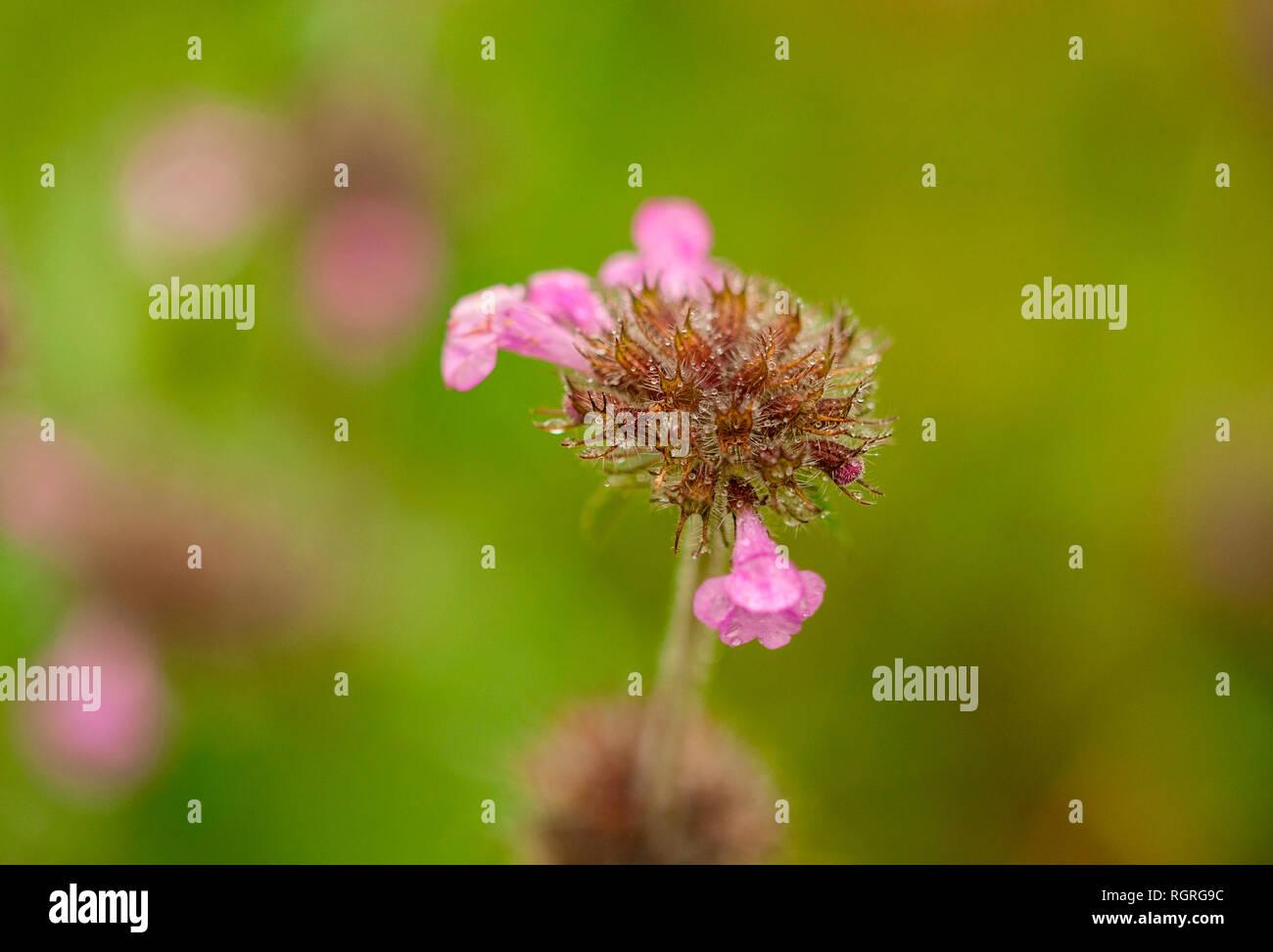 wild basil, nature reserve Hute am Seilerberg, Ehlen, Hesse, Germany, Europe, Clinopodium vulgare Stock Photo