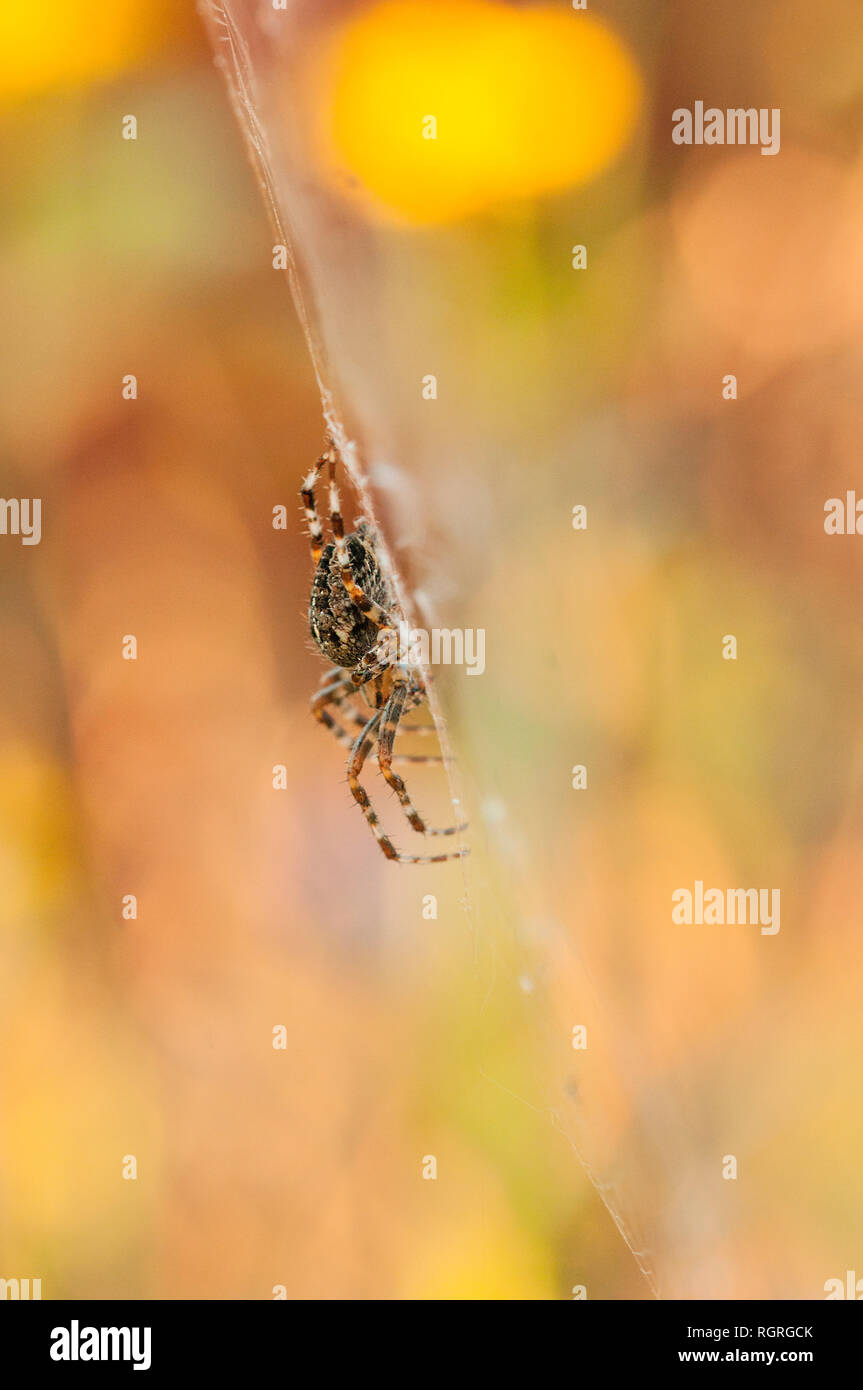 Garden Spider, Europe, Araneus diadematus - Stock Image