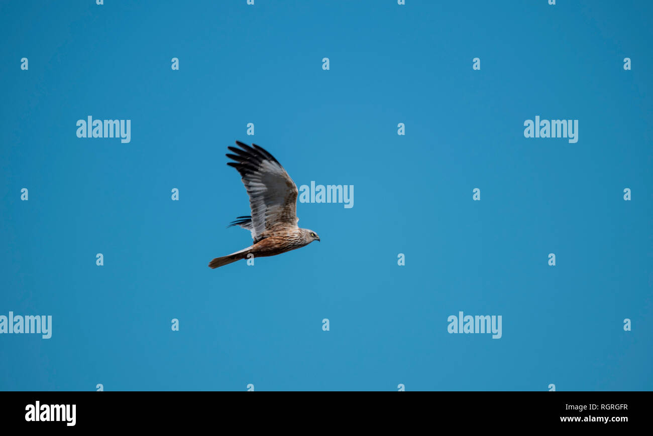 Western Marsh Harrier, Duemmer lake, Diepholz, Lower Saxony, Germany, Europe, Circus aeruginosus Stock Photo