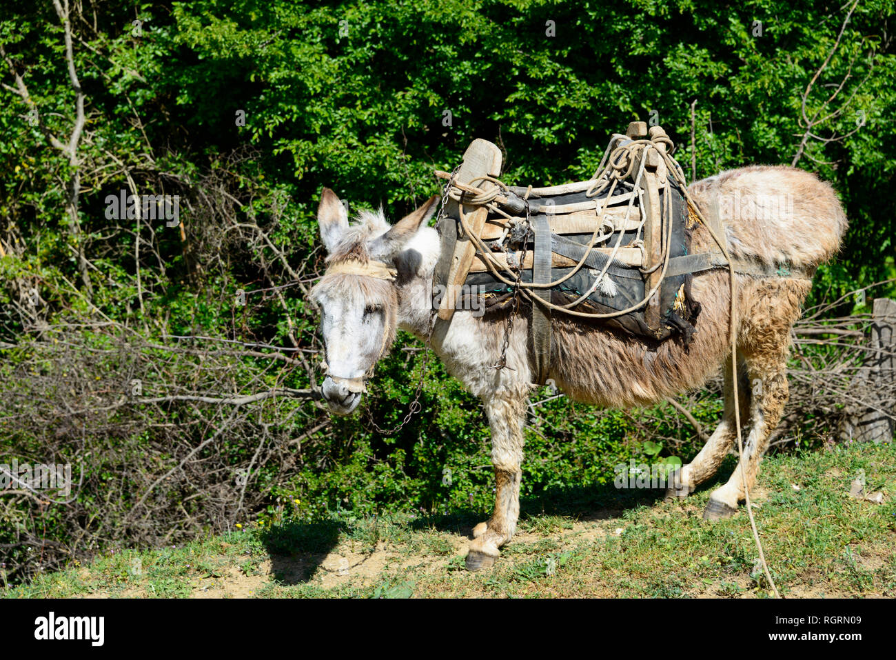 Domestic Donkey with packsaddle, southern Albania, Albania Stock Photo