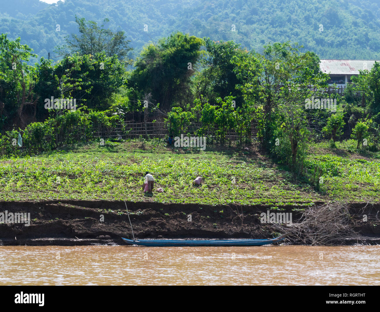 Laotian woman harvesting crops grown in fertile soil at side of mighty Mekong River Laos riverbank is gradually eroding - Stock Image