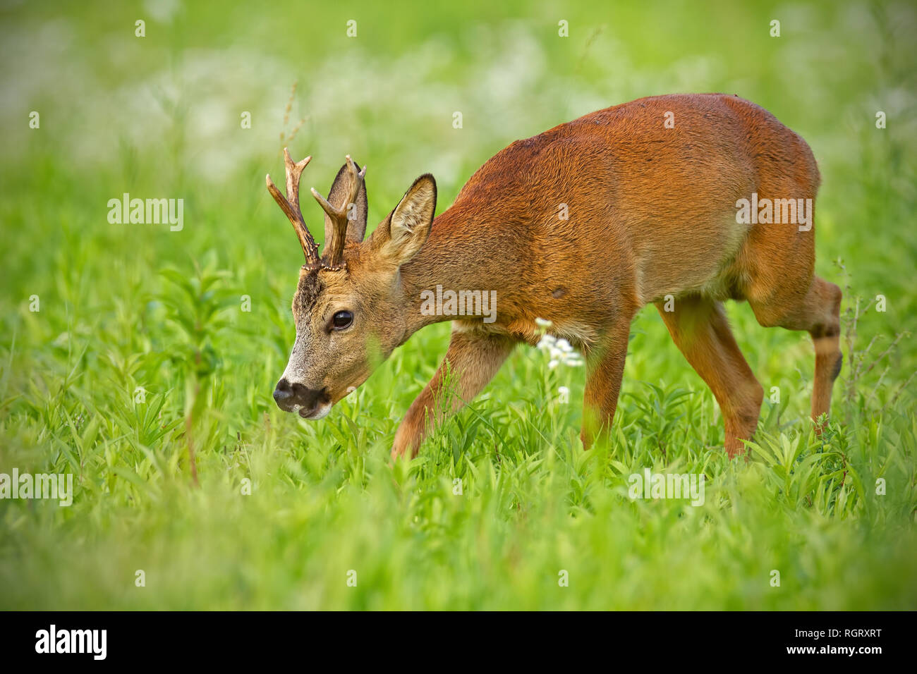 Young roe deer walking on hay field chewing peacefully in summer - Stock Image