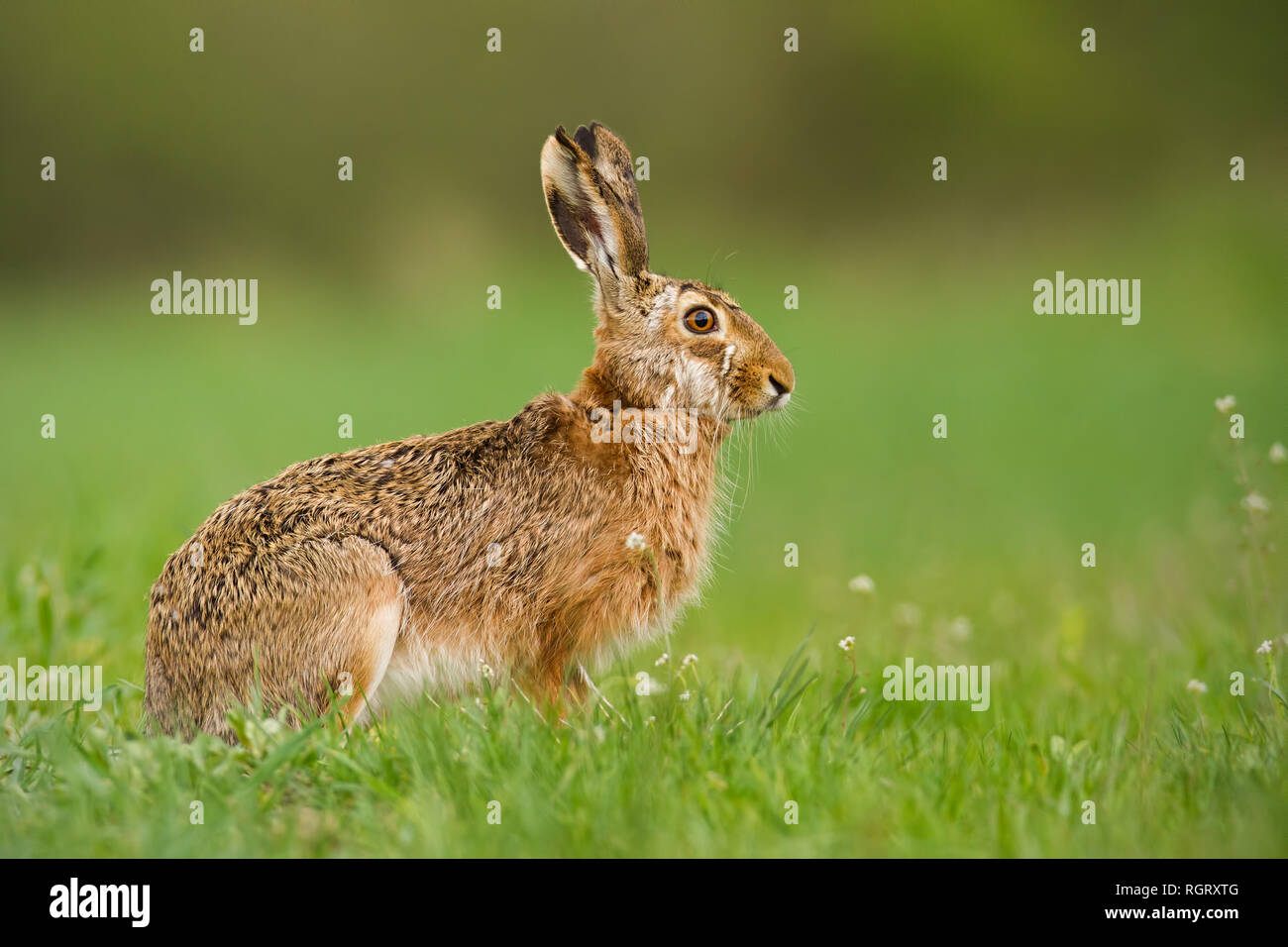 European hare in spring with fresh looking green blurred background - Stock Image