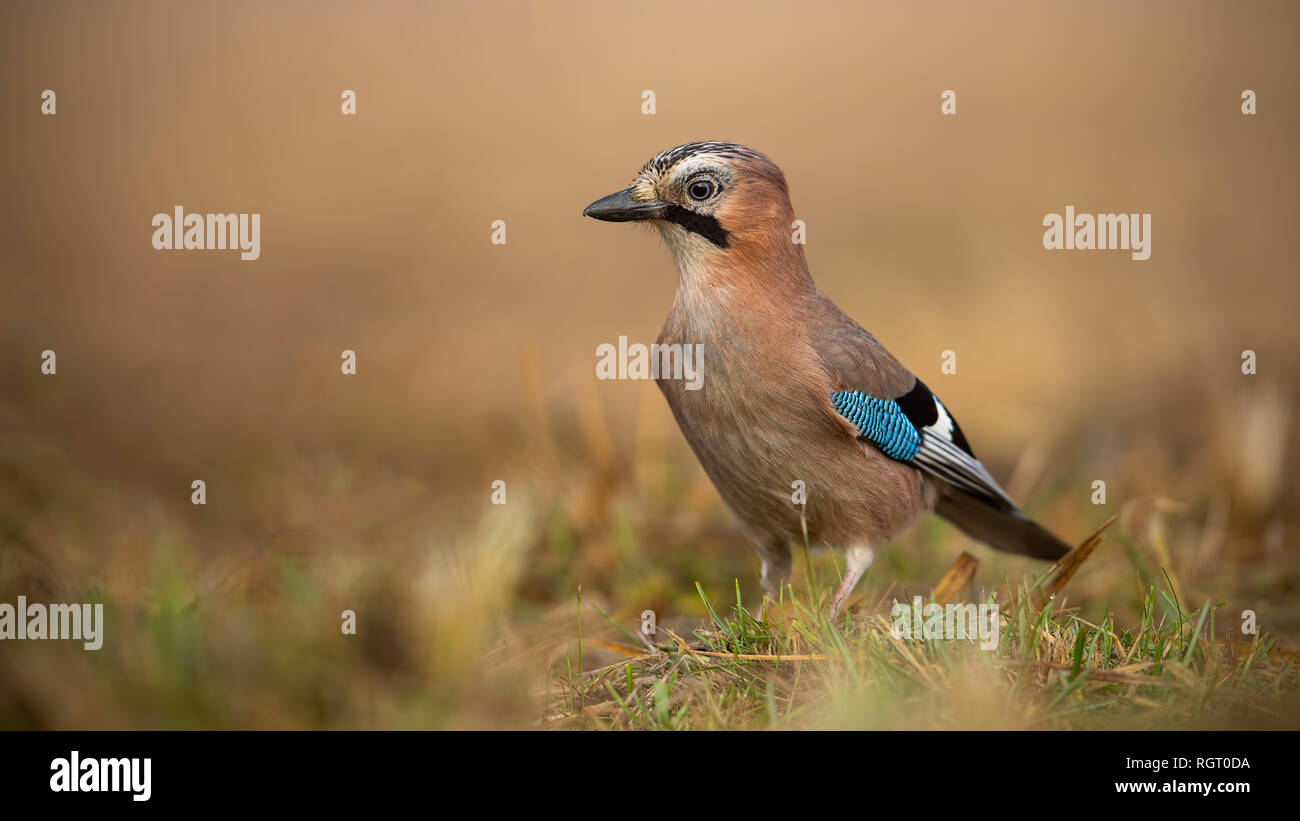 Eurasian Jay on the ground on a sunny winter day with blurred background - Stock Image