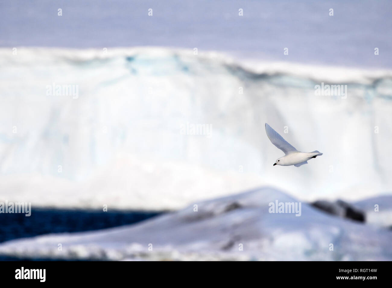 Snow Petrel (Pagodroma nivea) flying next to our ship in the Antarctic - Stock Image