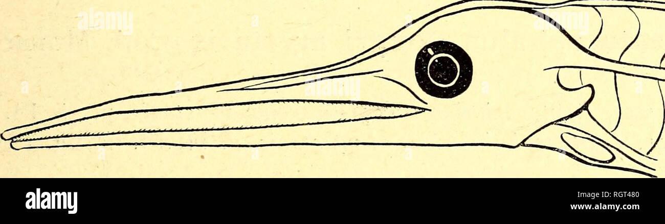 . Bulletin de l'Institut océanographique. Ocean. Origine de la dorsale située un peu en arrière du niveau de l'anus, et non pas reportée sur la partie antérieure du tronc. Pectorales petites, à 9-10 rayons. Mensurations : No 1 No 2 No 3 (Stn. 211 3) (Stn. 32o5) (Stn. 32o5) Longueur totale 248â¢â¢ 2 5omm 2 24mm(muiiié) Hauteur maxima 13mm 1 1mm 1 imm Longueur de la tête, mâ- choires comprises.. 7mm 5mm (mutilé) 6mm (mutilé) Distance pré-anale, ou rostro-anale i72mm ? ? Distance pré-dorsale, ou rostro-dorsale i79mm 189â¢â¢ ? Nombre total des myo- mères 324 33o env. 224 discernai)!,  - Stock Image