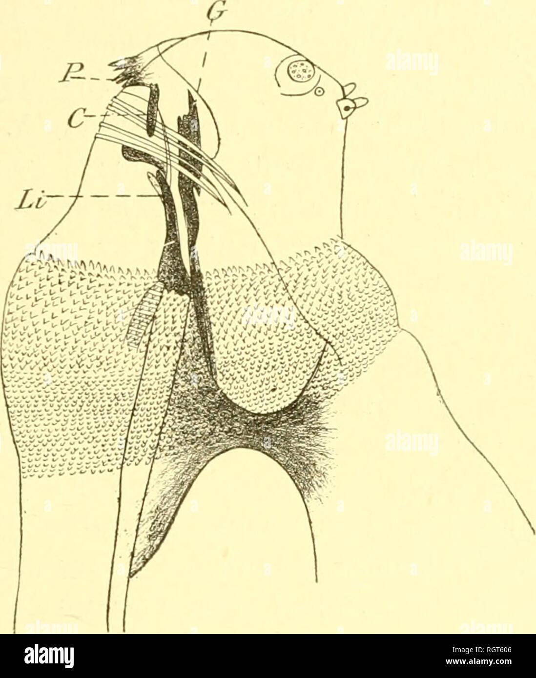 . Bulletin biologique de la France et de la Belgique. Biology; Natural history. I.AI;V1> I)K DII'l'KIiKs C^(â¢|.(U;1IAI'1IIâ > 147 extrémité. La tête présente, sur sa face ventrale, deux sillons parallèles et une série de crochets et d'écaillés. Ca//i/)/iora cri/tln-Dcephala (tij^;. XVI). â L'armature hucco- pharyngienne est du tvpe de Musca. Le crochet médian dorsal [G) est hien visible, la pièce médio-ventrale (L^) est comme chez Musca. (7»n voit ici, en plus, dcnK pièces latérales (C) qui aboutis-. Fig. XVI. â Tète et annaliire bucco-pharviiglenne de la larve pri;naire  Stock Photo