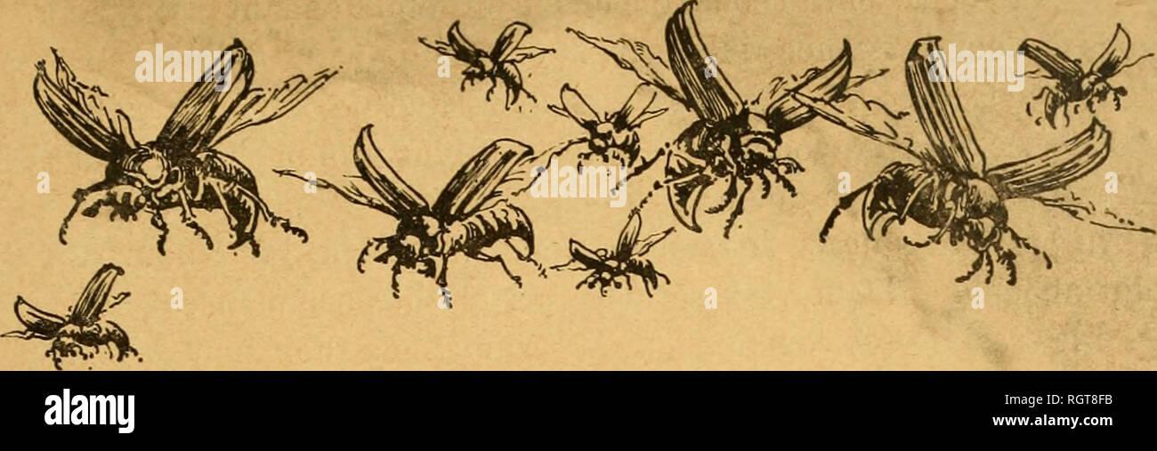 . Bulletin biologique de la France et de la Belgique. Biology; Natural history. VISARIA BENSA (LINK) PRIES, CHAMPIGNON PARASITE DU HANNETON COMMUN, (MELOLONTHA VULGARIS L. ), ALFRED GIARD. .... Et je vous rendrai les années de récoltes dévorées par les criquets, les vers blancs, les chenilles, la nielle, toute la grande armée des parasites envoyée contre vous.... Proph., JoÃ«l, II, 25. SOMMAIRE : I. Introduction : La lutte contre le Hanneton. â II. Historique de la découverte en France du Champignon du Hanneton. â III. Description du Cryptogame. â IV. Parasites de VIsaria densa.â V. Pos Stock Photo