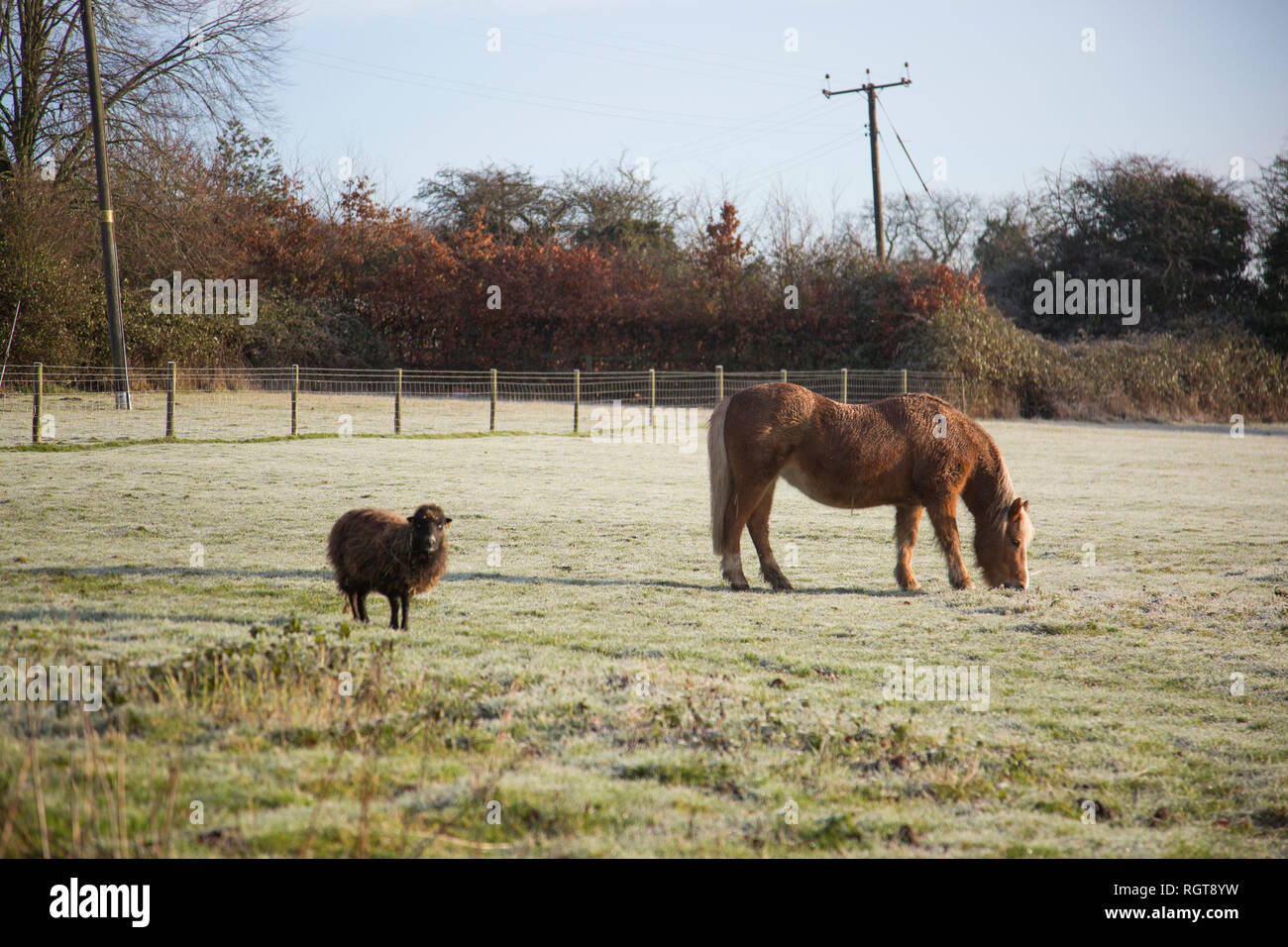 Horse and sheep standing in a frosty field on a sunny winter's day in a rural location in Bromsgrove, Worcestershire - Stock Image