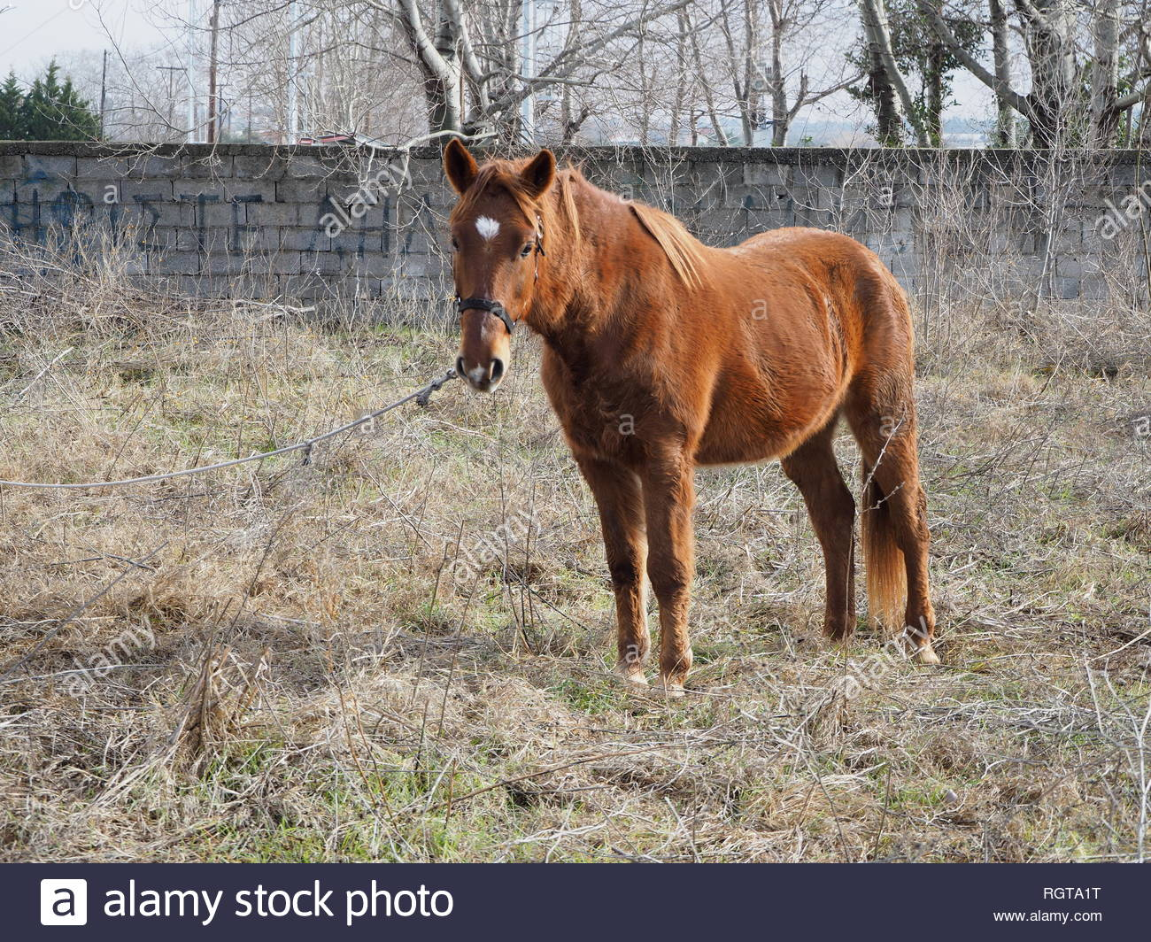 Tied brown stallion front left view - Stock Image
