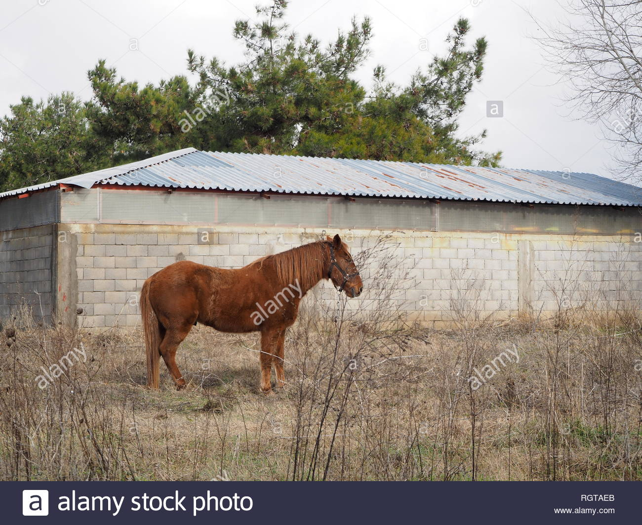 Tied brown stallion right view - Stock Image
