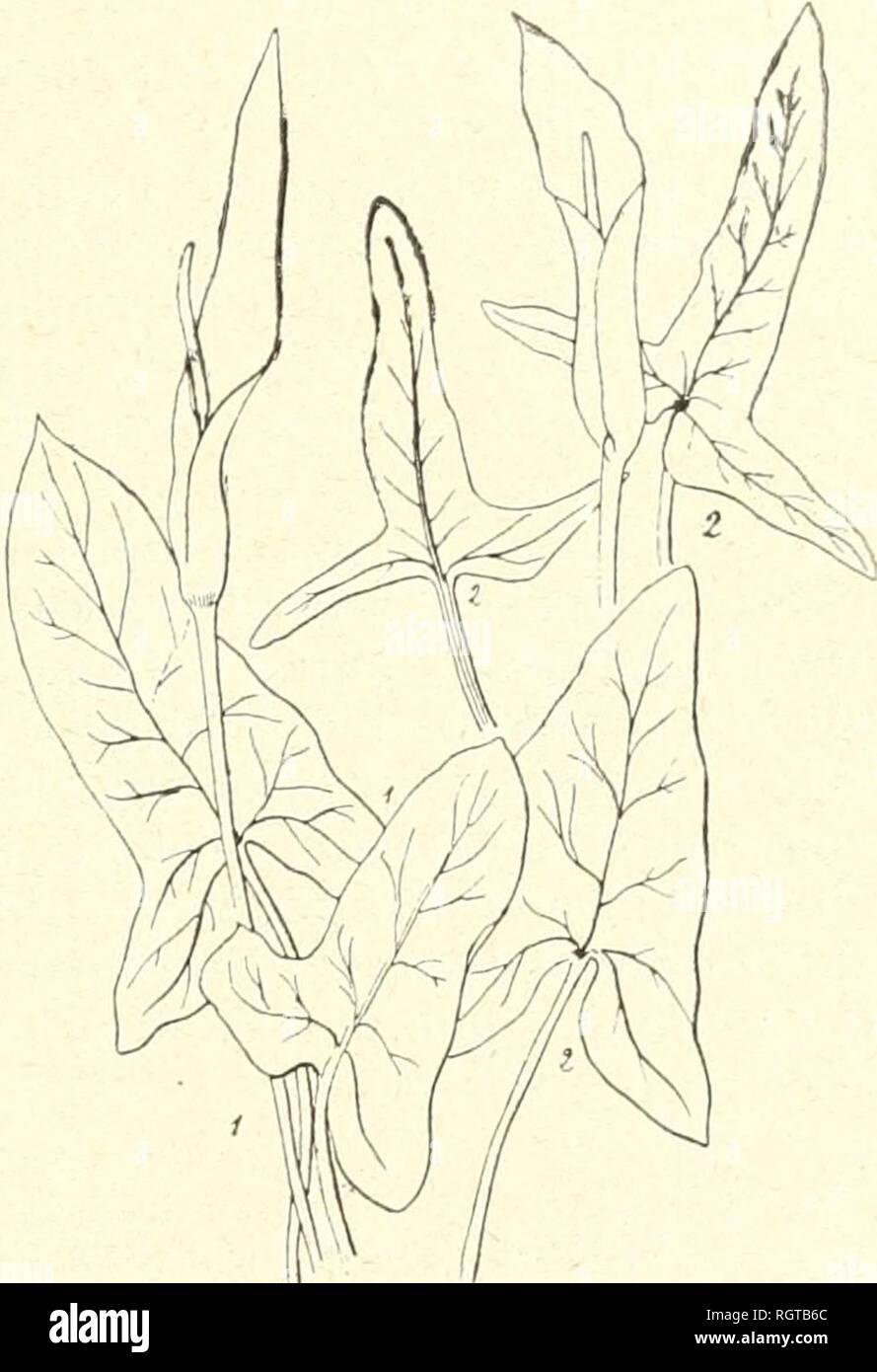 . Bulletin de la Socit botanique de Genve. Plants; Plants -- Switzerland. intense purpureo-marginata. Spadix spatbà lertia parte brevior, temnter fusiformis pa^ne cylindrica, api- cem versus baud incrassata, nd)ella aut atropurpurca. Synonymie : A. rupicola Boiss., dans Schott, Engler et autres, pour autant que les sta- tions indiquées sont de Syrie ; pourtaid la description s'appli- que plutcM à r.4. elongatum, connu aussi de cette région; A. loïKjicirrhum Schott, Syn. .r., p. 14(1850). A» (jratum Schott, Syn. Ar., p. ll,e. p.! A. iticomplinti Schotl, Her- biers, e. p. ! Figures : Icon.  - Stock Image