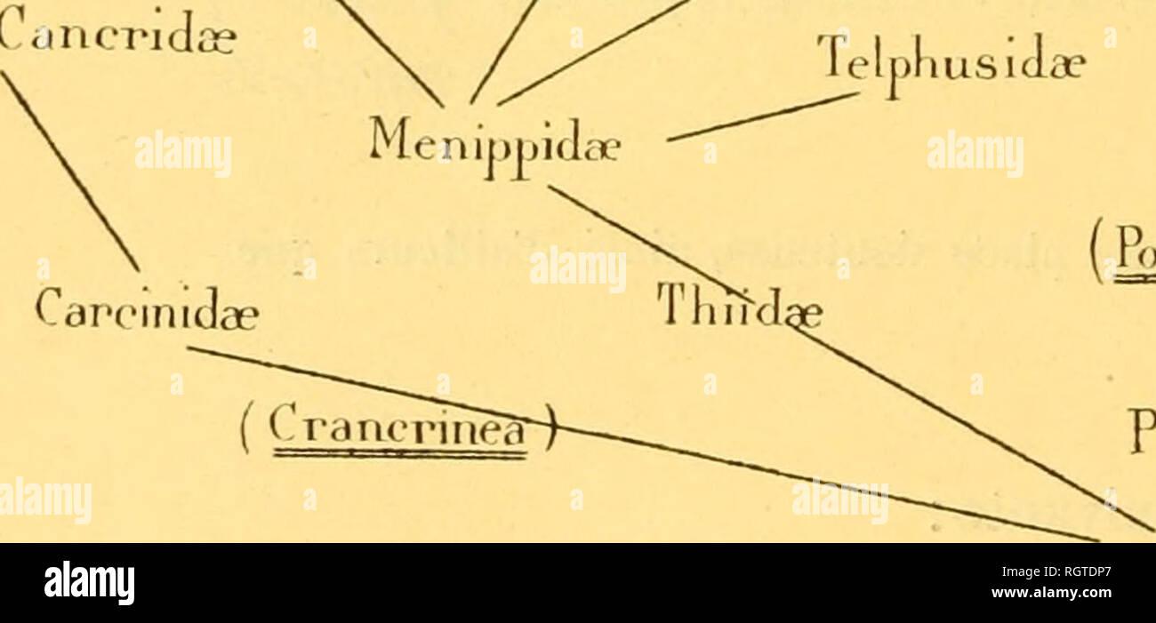 . Bulletin biologique de la France et de la Belgique. Biology; Natural history. 494 UEORGES BOHX. CHAPITRE V. CONCLUSIONS La vie fouisseuse et la phylog-énie des Crabes. Ortmann [E, 94] a donne 1(3 tableau suivant, relatif à la généa- logie des Brachyures : . Crecarciniuie Ocn-podido? Grapsidae GonoplacidŠ^ ^ Lissocamnidae Thalamilidae Pinnotheridas Trapeziidae   Carupidae Xaidhidce Oziid^e ^ , X . , Léirt'irioplacidae Cancrida PodopWKalmida? PopUiiiidse. Telpliusld^e PolvLiidii- Rtrltinmea t y me a I l>uiloidca t vpiea Nautdocorvslida FlatyonK-ludaî AtelecVcliclae. Please note tha - Stock Image