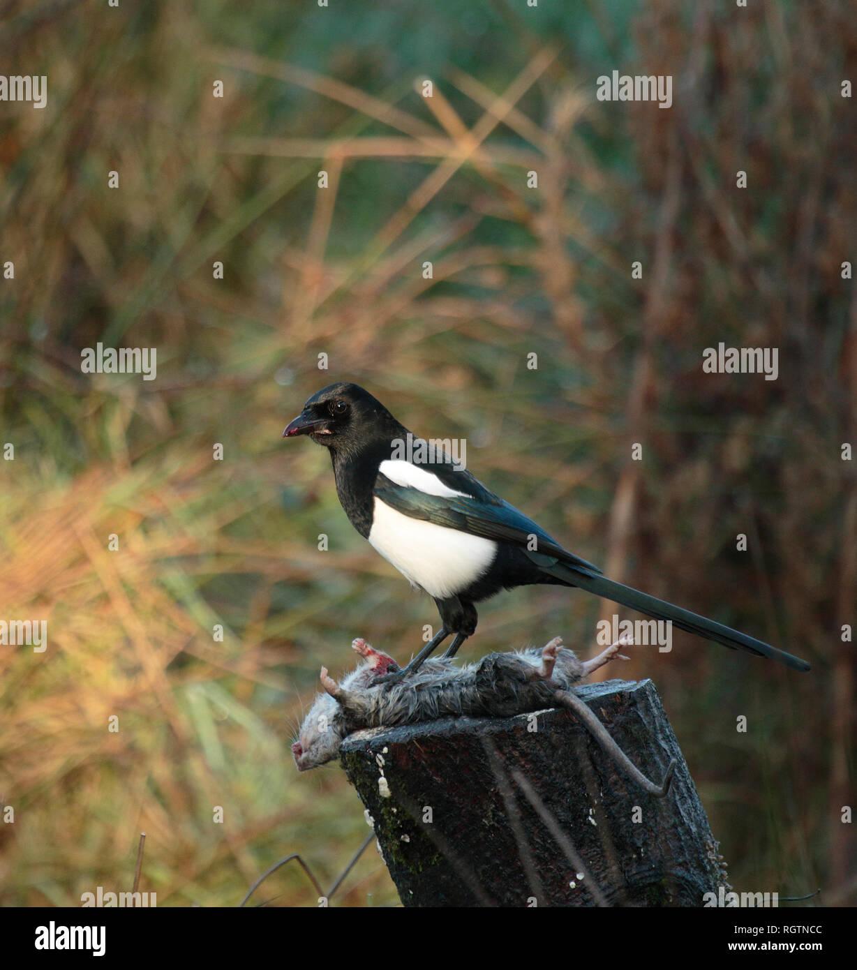 Iridescent Black Birds Stock Photos & Iridescent Black Birds
