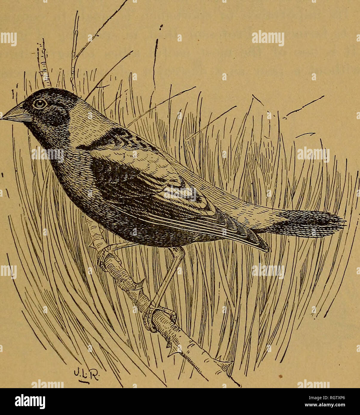 . Bulletin - Biological Survey. Zoology, Economic. BOBOLINKS OR EEEDBIKDS. 19 would be no objection to utilizing the bird for food were it not for the abuse to which this custom of killing it for market has given rise. Not onl}-^ are other birds killed for reedbirds, but in States in which reed- birds do not occur marketmen try to make up the deficiency by fur- nishing various small birds under that name. In the markets of San Francisco horned larks (Otocoris), red-winged blackbirds {Agelaius), Brewer's blackbirds {Scolecoj^hagus)^ white-crowned and golden-crowned. Pig. -4.—Bobolink {Bolichoni - Stock Image