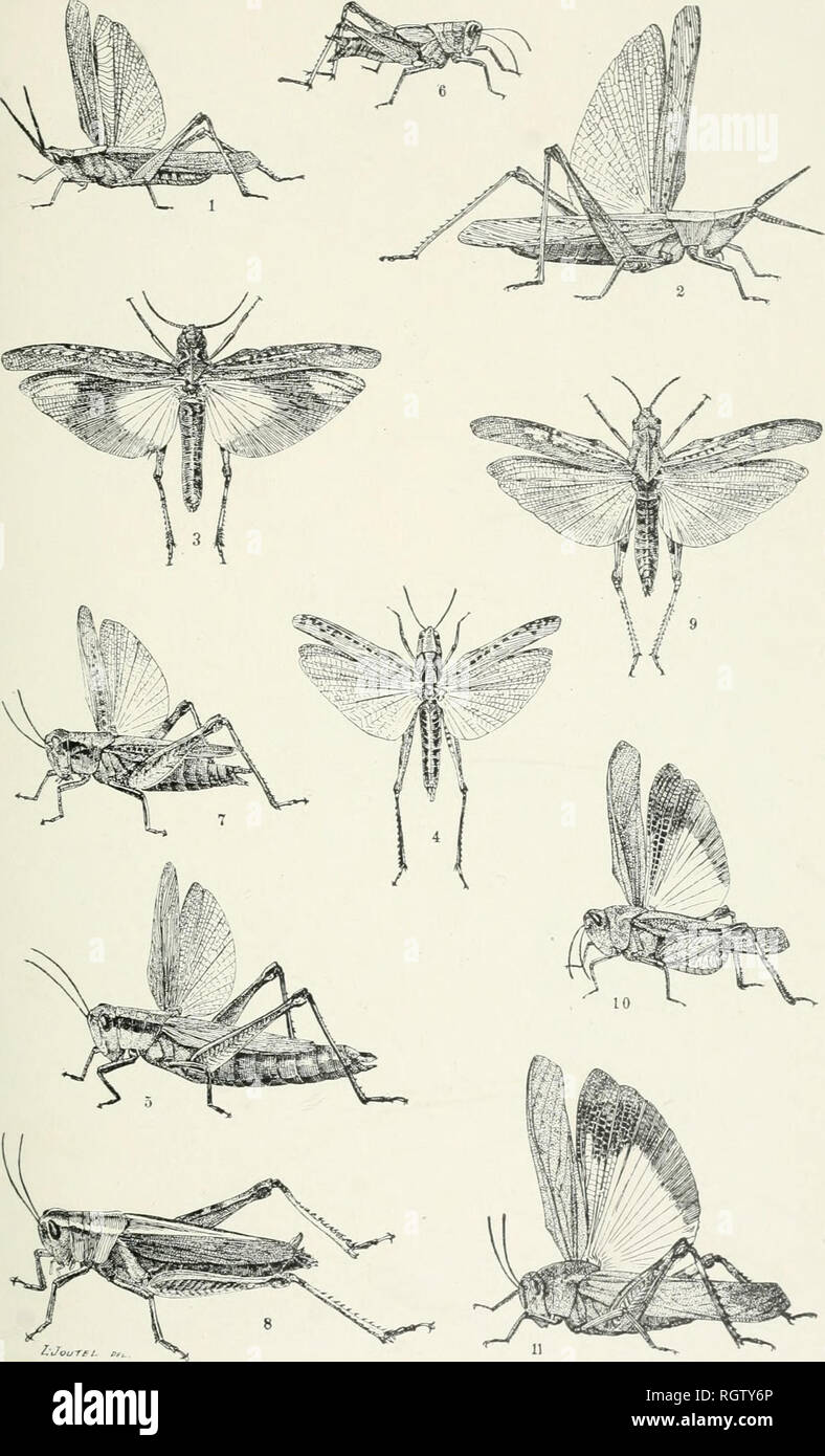 """. Bulletin - American Museum of Natural History. Natural history; Science. Bulletin A. M. N. H. Vol. VI., Plate VIII.. i. Truxalis brevicornis. 3. Psinidia fenestralis. 4. Stenobothrus macuiipennis 5. Paroxva atlantica. 6. Pezotettix scudderi. 7. Melanoplus femur-rubrum. """" bivittatus. Chortophaga viridifasciata. Arphia sulphurea. """" xanihoptera.. Please note that these images are extracted from scanned page images that may have been digitally enhanced for readability - coloration and appearance of these illustrations may not perfectly resemble the original work.. American Museum of Na - Stock Image"""