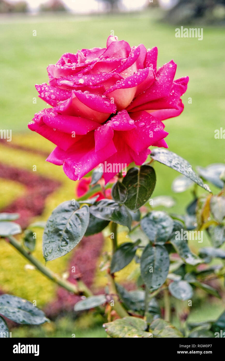 Rose Flower In Summer Garden Rose With Pink Petals Blossoming On