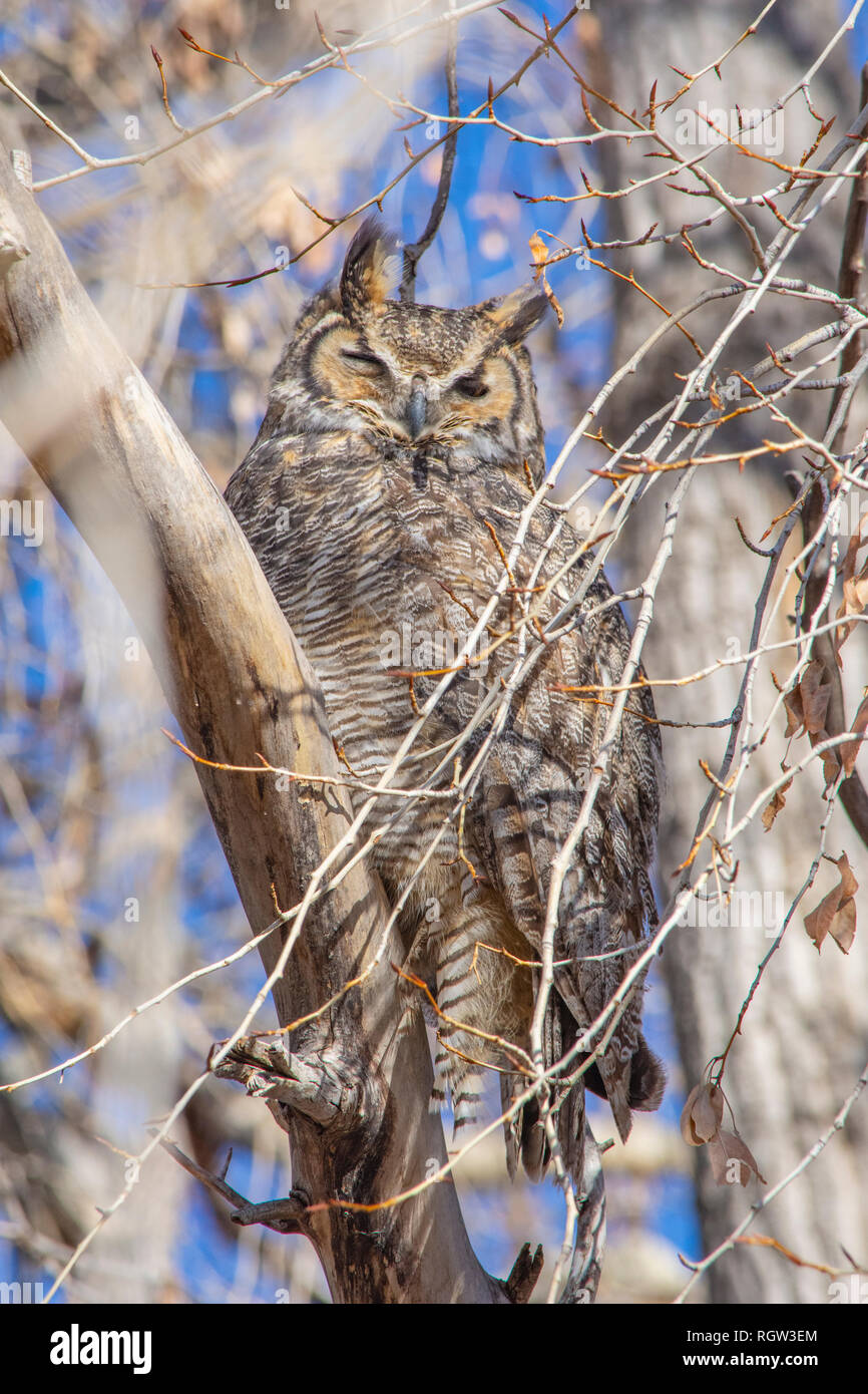 Rocky Mountains great horned owl (Bubo virginianus pinorum) sitting in Plains Cottonwood tree, Castle Rock Colorado US. Photo taken in January. - Stock Image